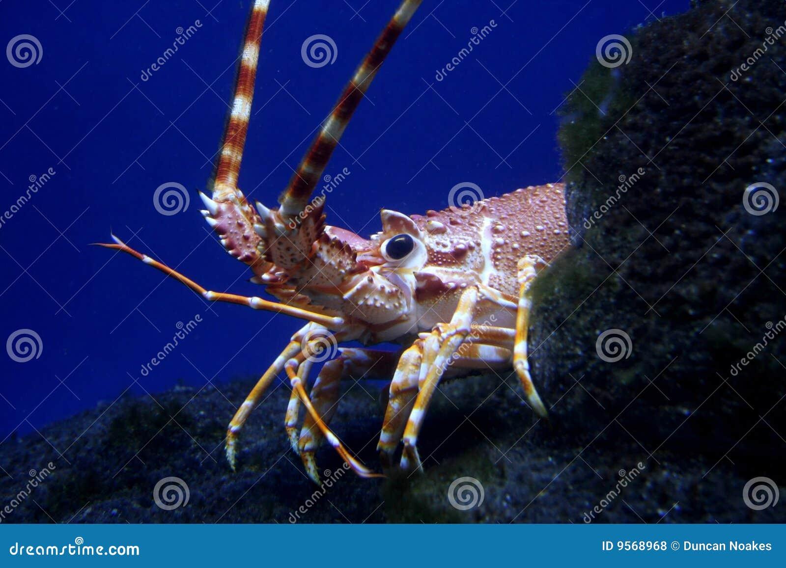 Rakowy homar