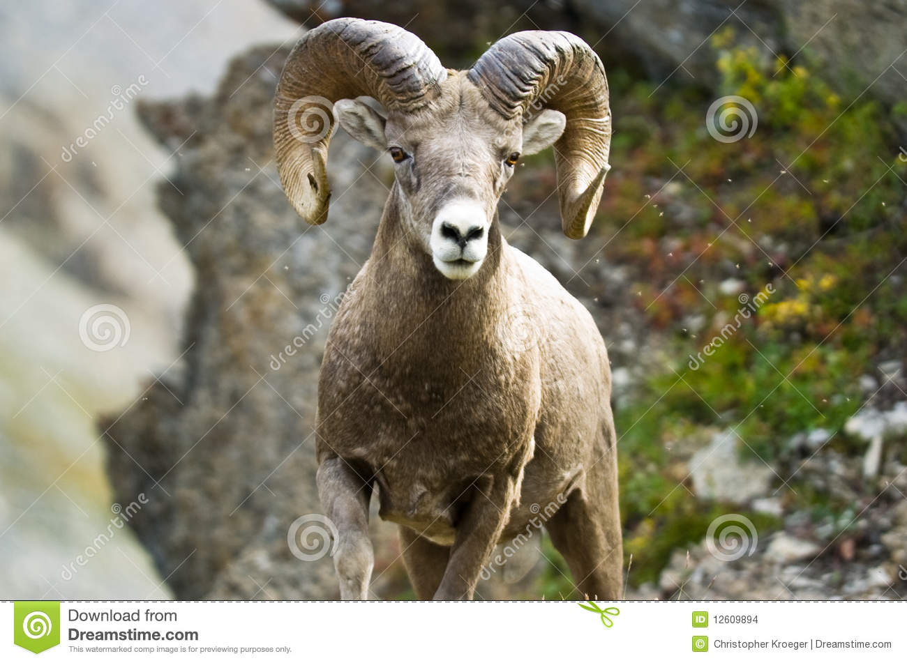 Ram big horn sheep