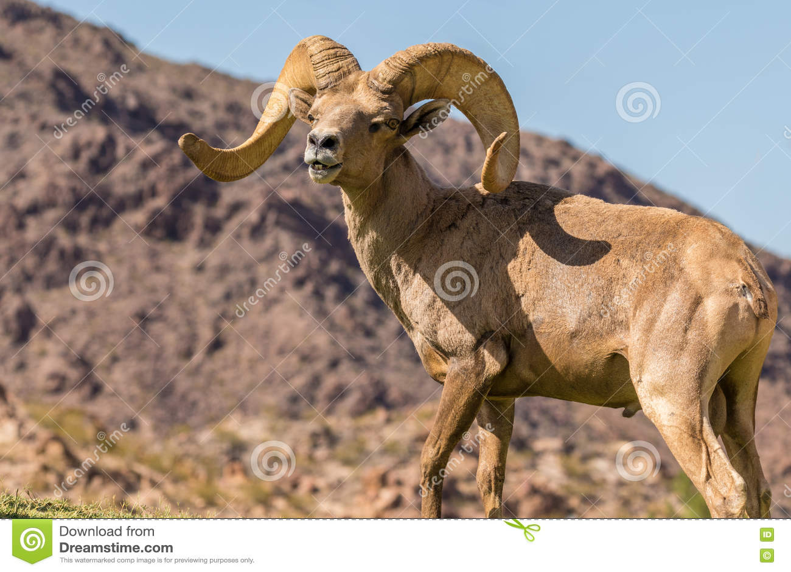 Ram Bighorn пустыни в колейности