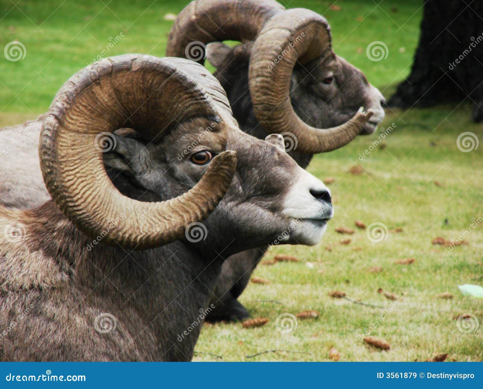 RAM de Bighorn en descanso