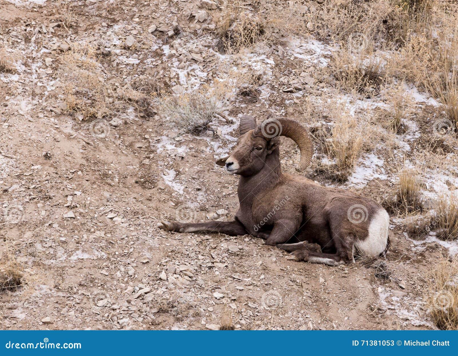 Ram de las ovejas de Bighorn