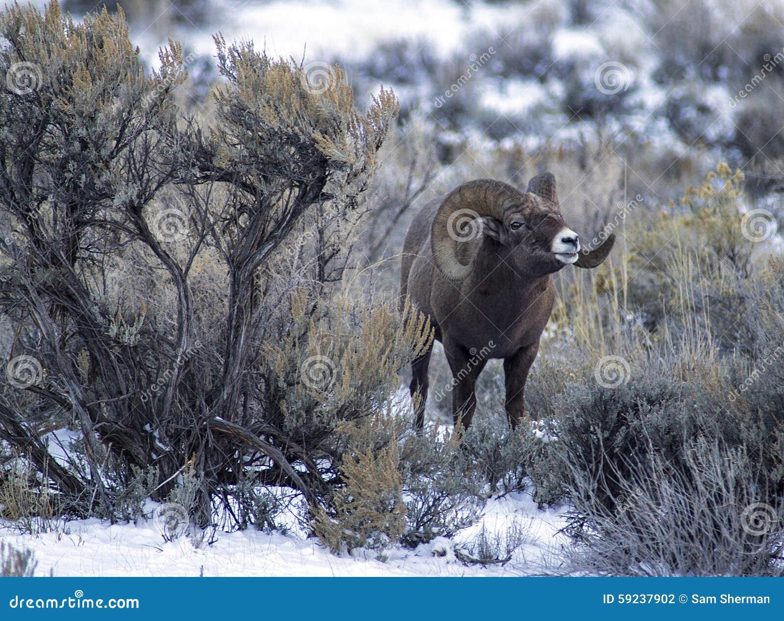 Download Ram De Las Ovejas Del Big Horn En Artemisa Foto de archivo - Imagen de dall, montañas: 59237902