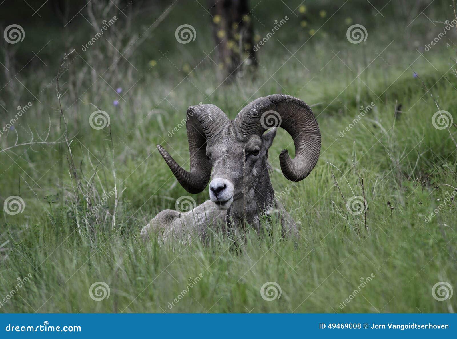 Ram dos carneiros de Bighorn