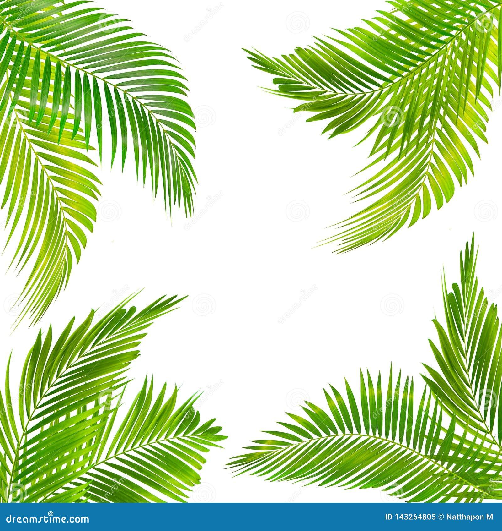 Ram för text som göras från den isolerade gröna palmbladet på vit bakgrund