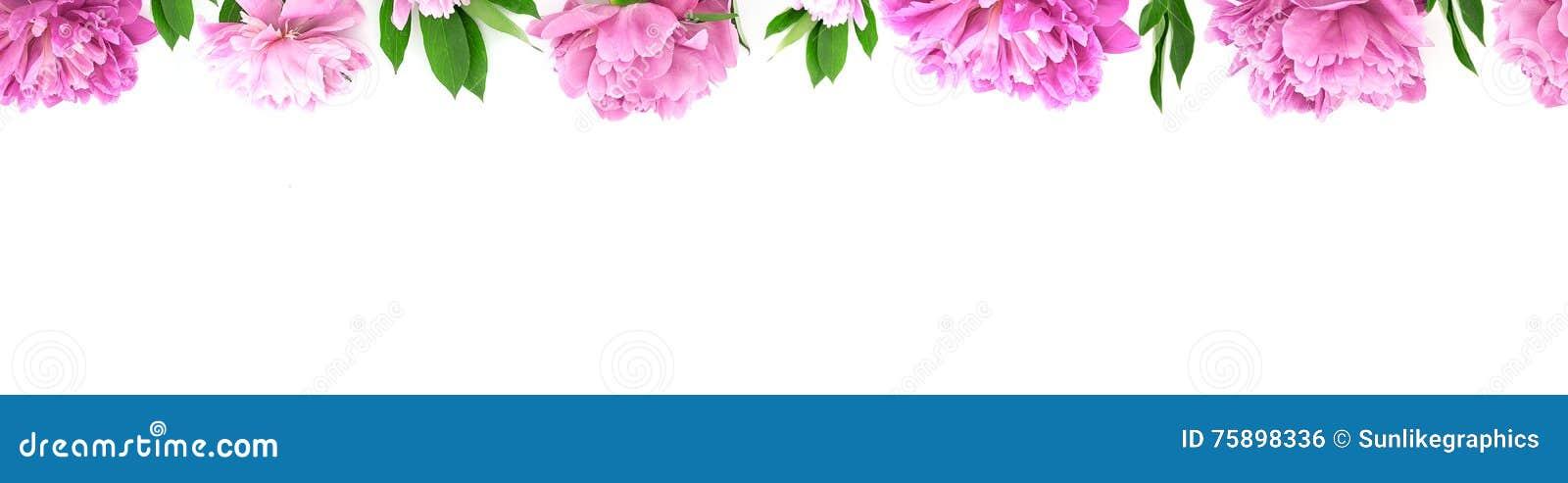 Ram från den rosa pionblomman på vit bakgrund med kopieringsutrymme