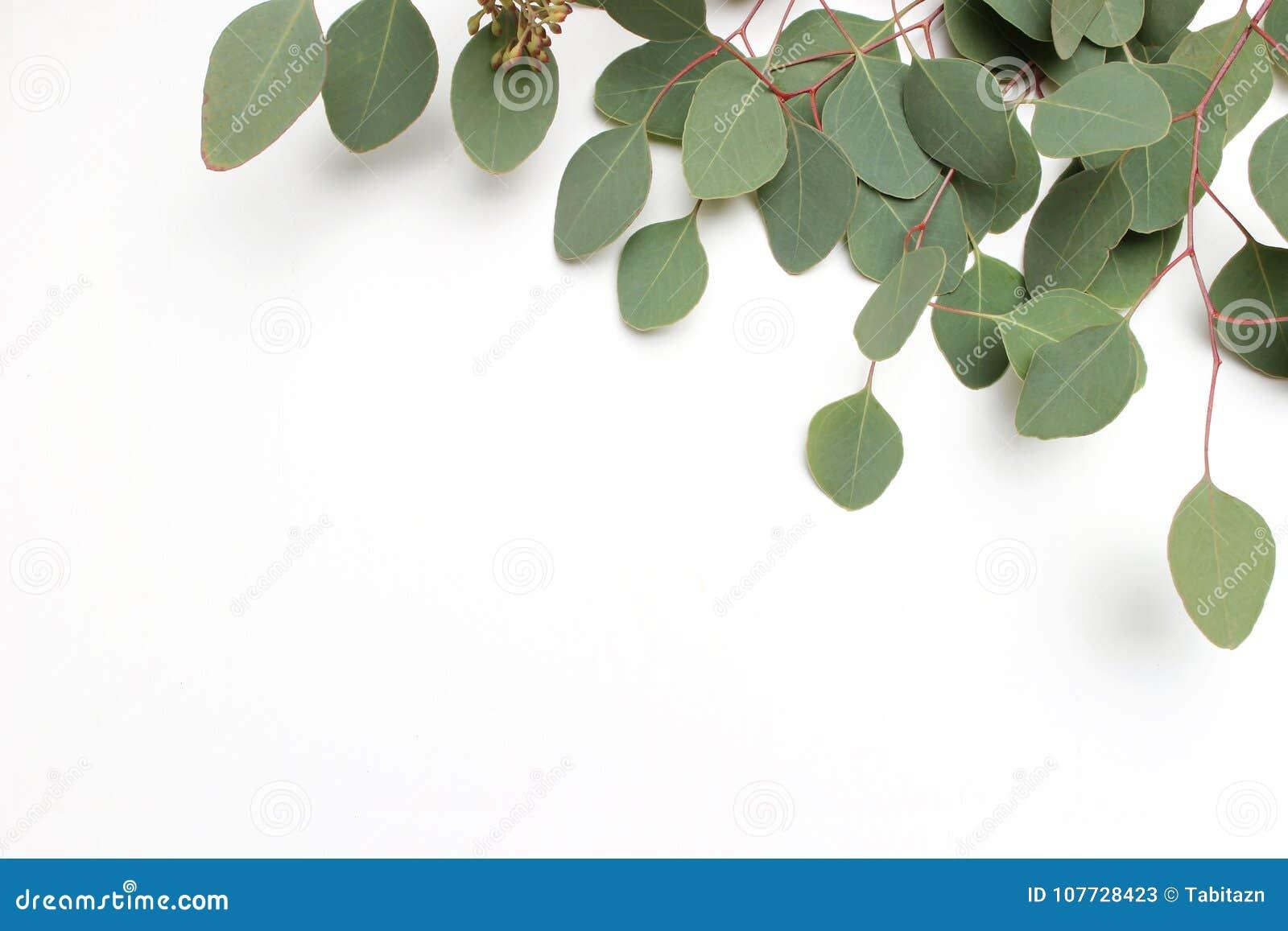 Ram, gräns som göras av cinerea sidor för grön silverdollareukalyptus, och filialer på vit bakgrund alla några objekt för den blo