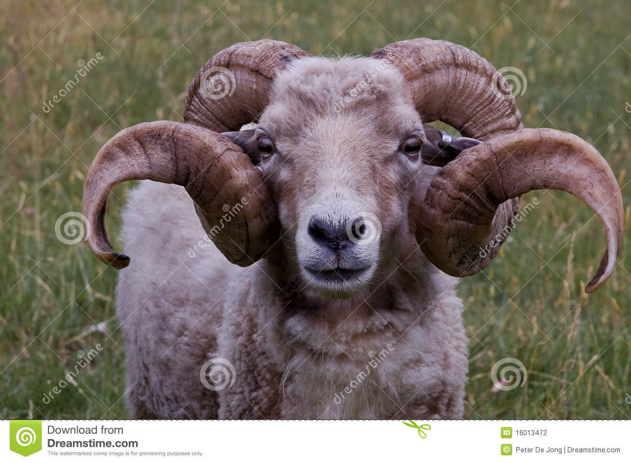 Ram With Nice Horns Stock Photography - Image: 16013472