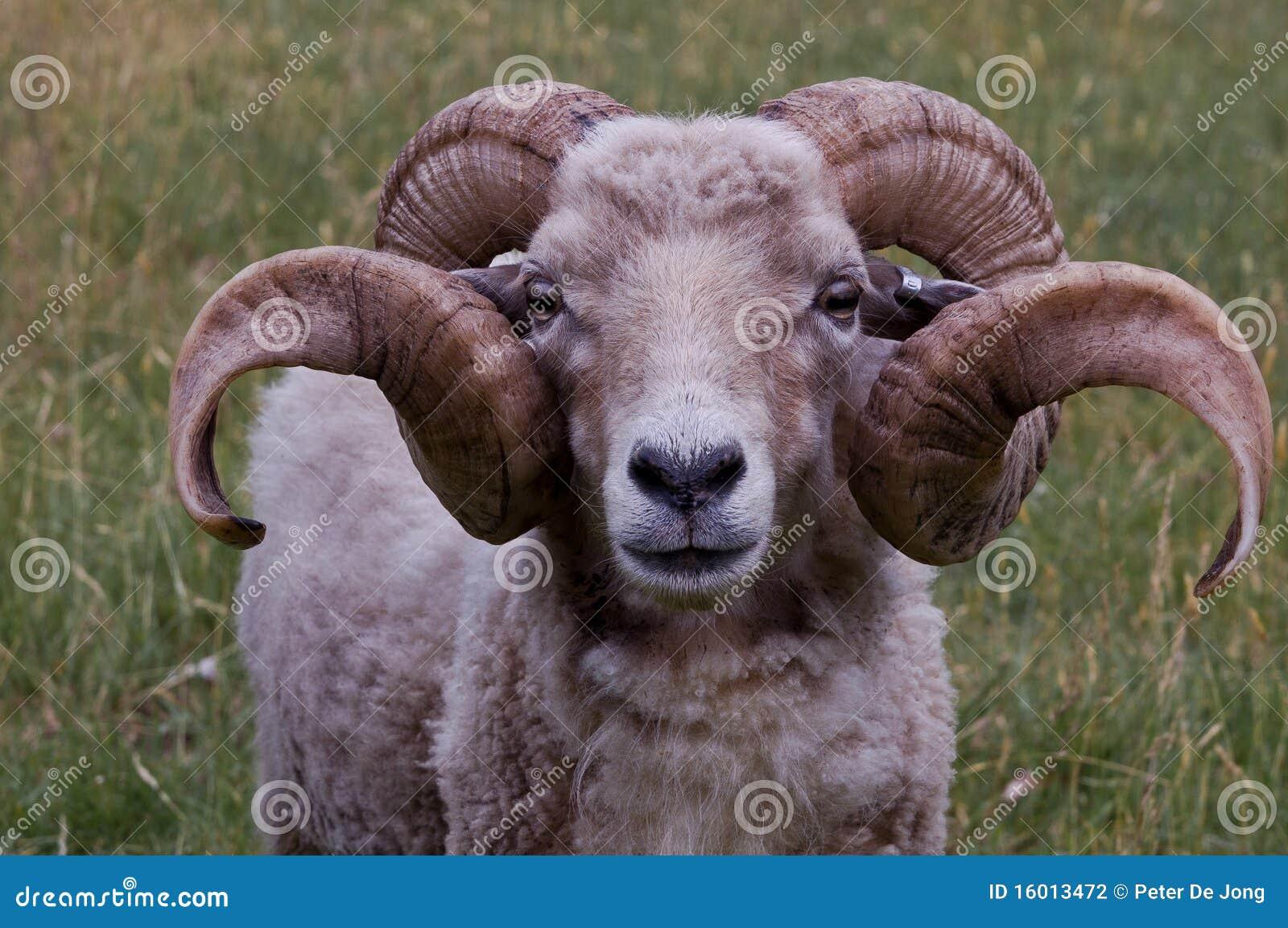A ram with nice horns