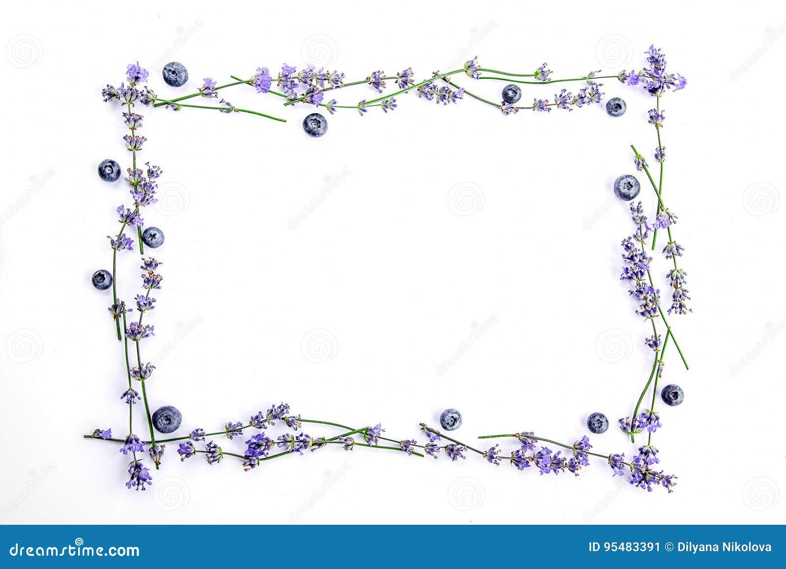 Rama świezi lawenda kwiaty, czarne jagody na białym tle i Lawenda kwitnie i czarne jagody wyśmiewają up kosmos kopii