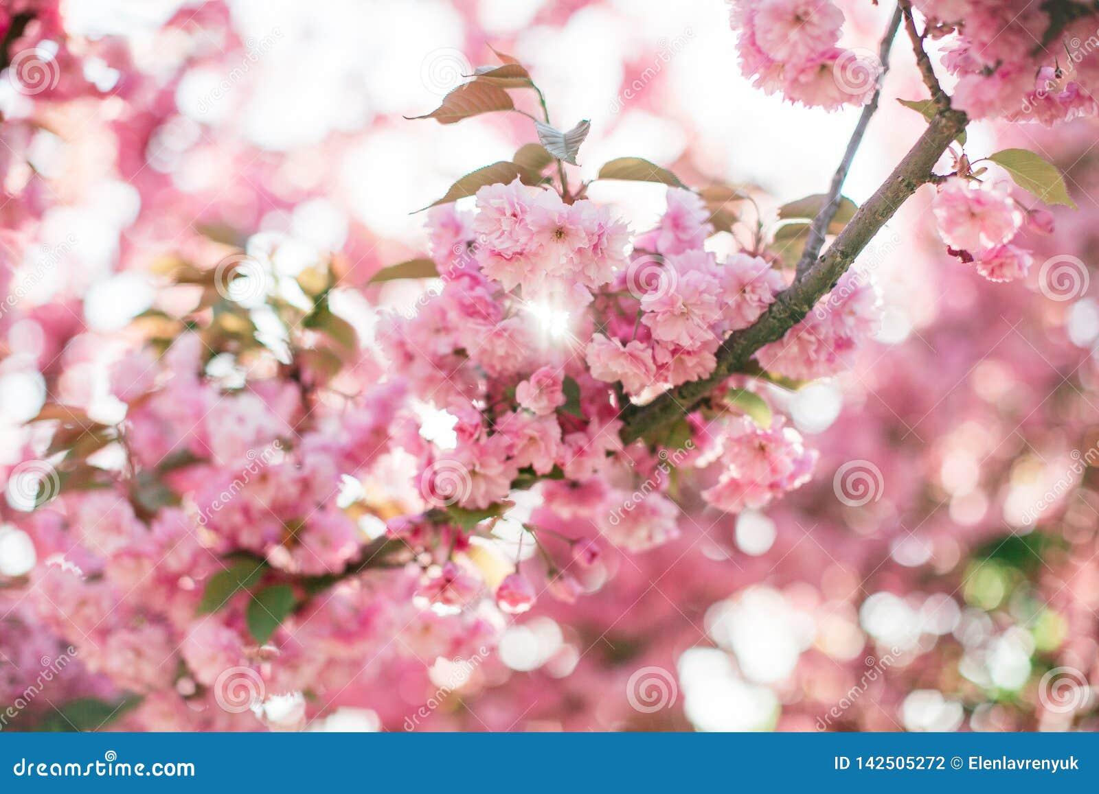 Rama con las flores florecientes de Sakura en el sol