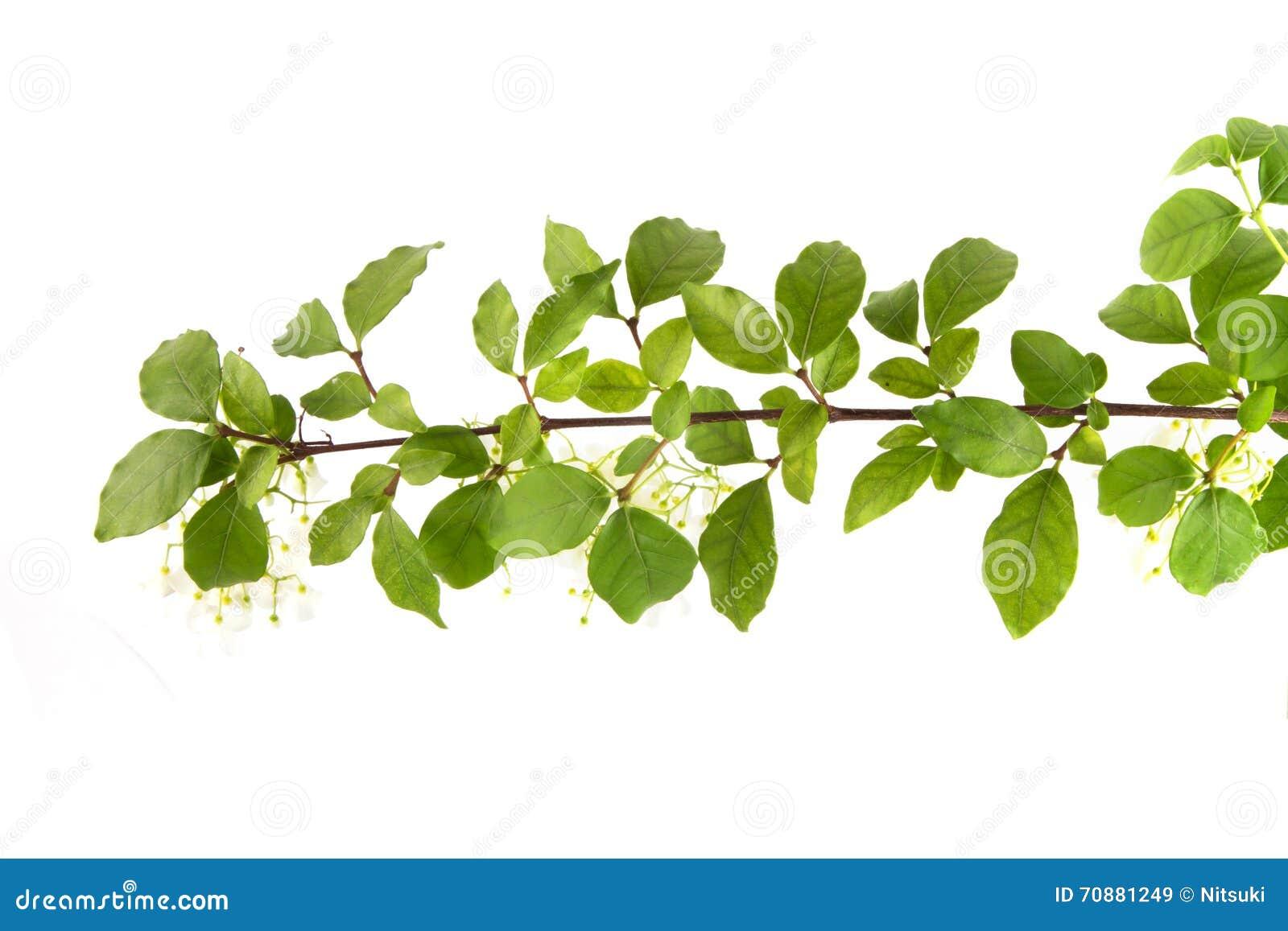 Rama De árbol Con La Opinión Superior De La Hoja Verde