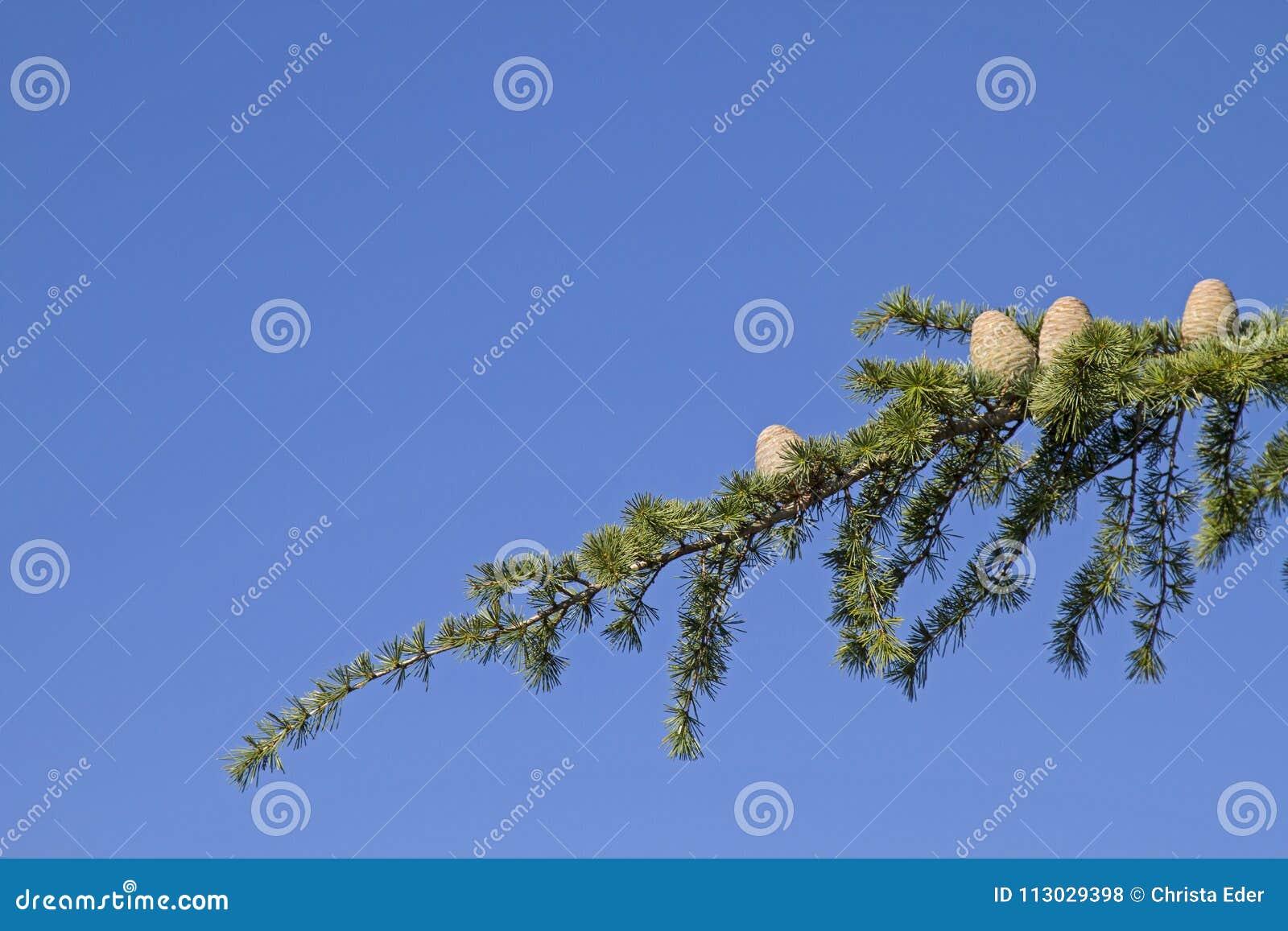 Rama de árbol con los conos del cedro