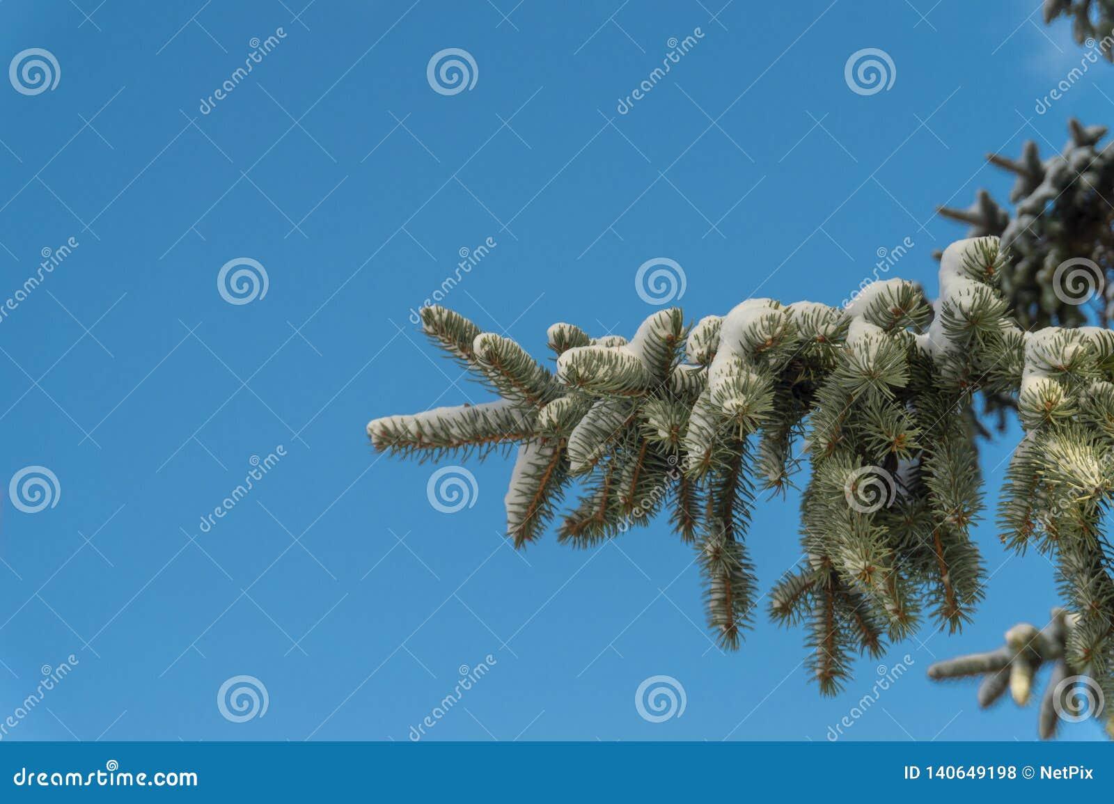 Rama de árbol nevada de la picea