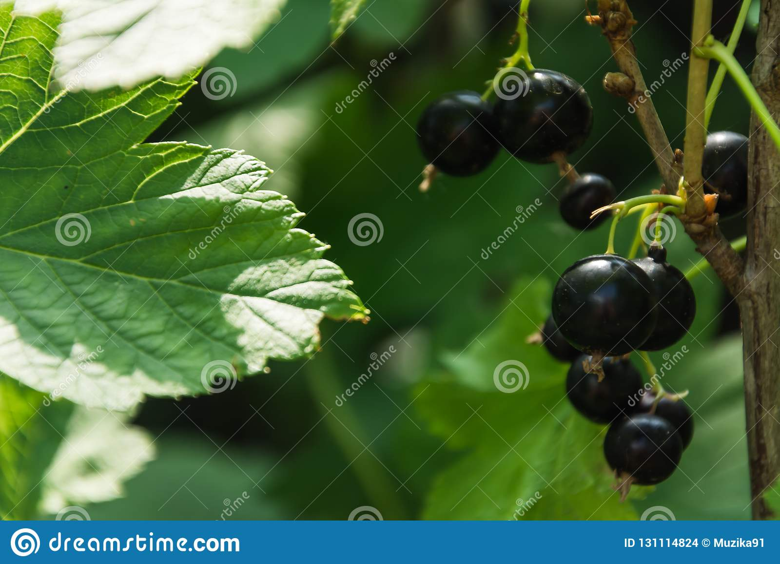 Rama de la grosella negra en el jardín