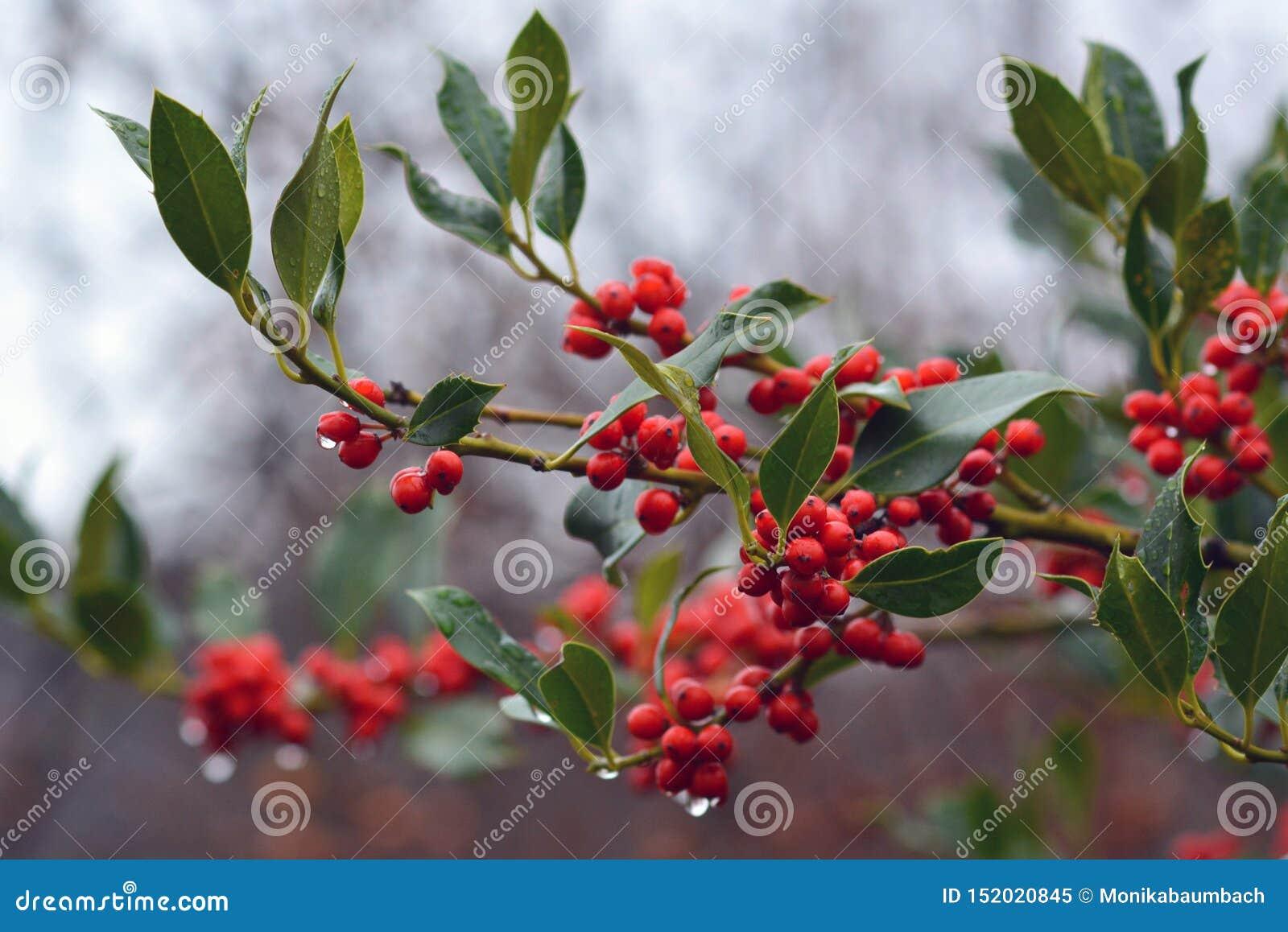 Rama de la planta común del cultivar JC van Tol del acebo del Ilex de Aquifoliaceaev con las bayas rojas y las gotas de agua que