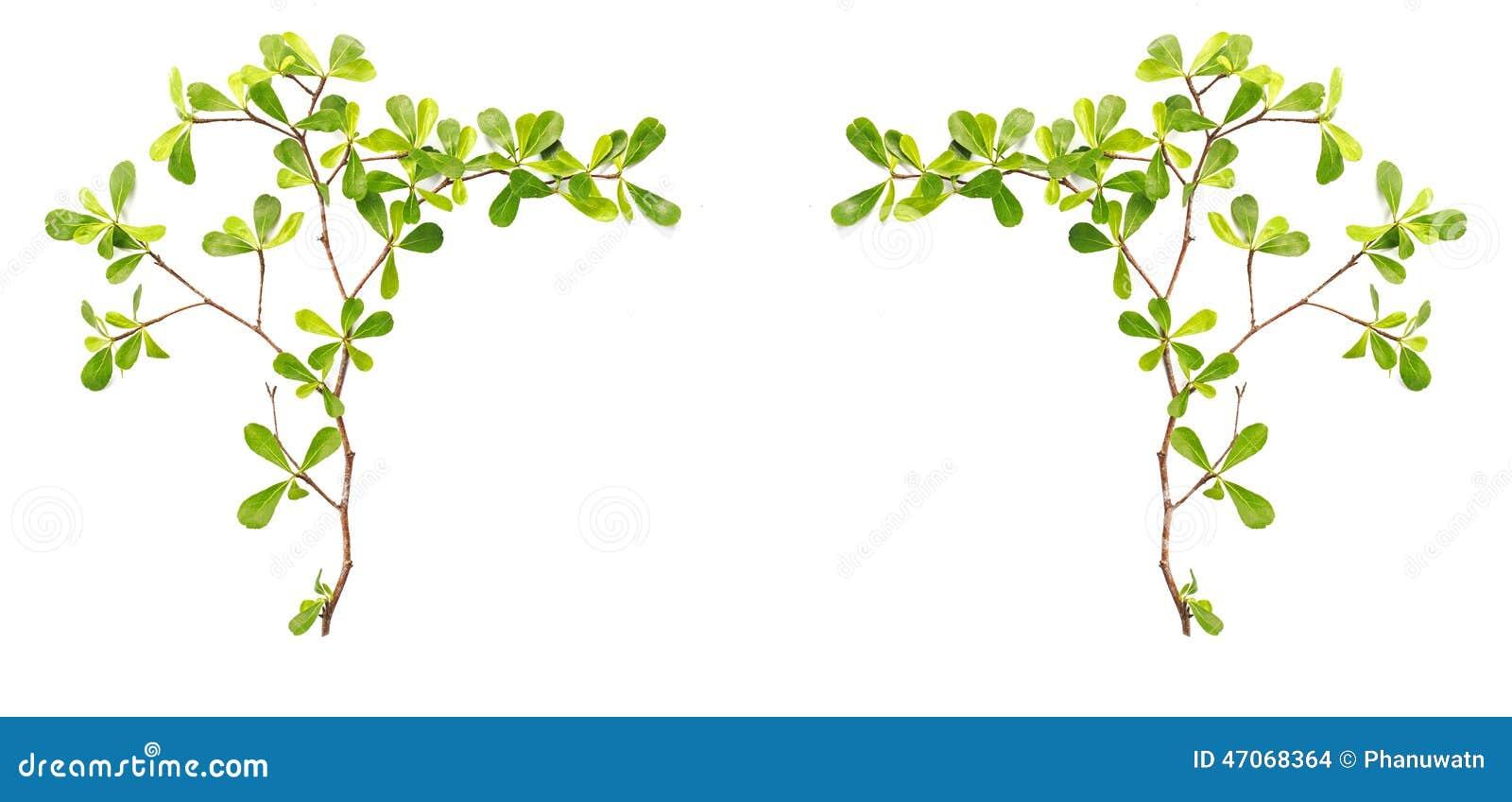 Rama De árbol Y Hoja Verde Aisladas En El Fondo Blanco