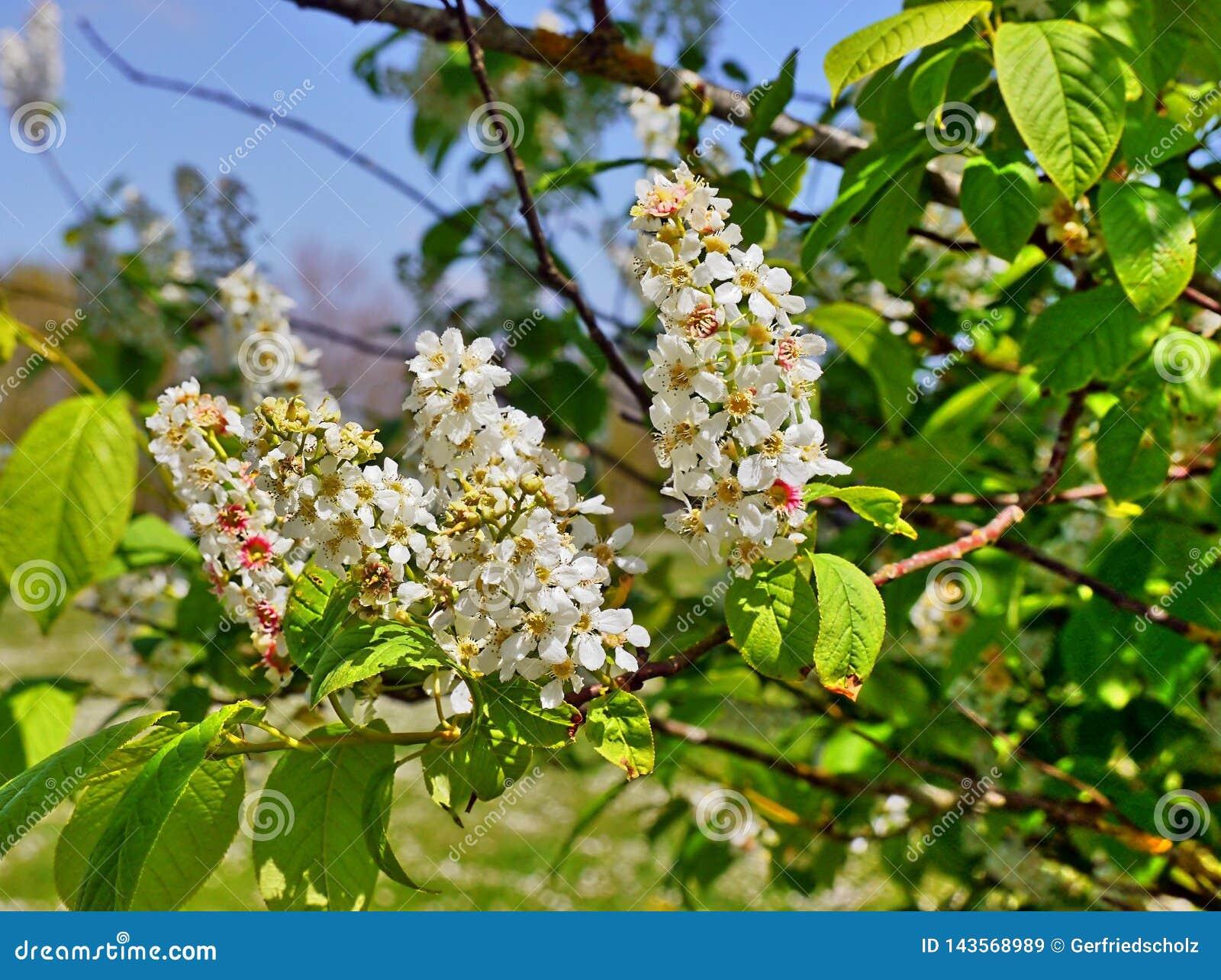 Rama de un árbol de castaña con las flores, fácilmente estambres visibles, pistilos, pétalos,