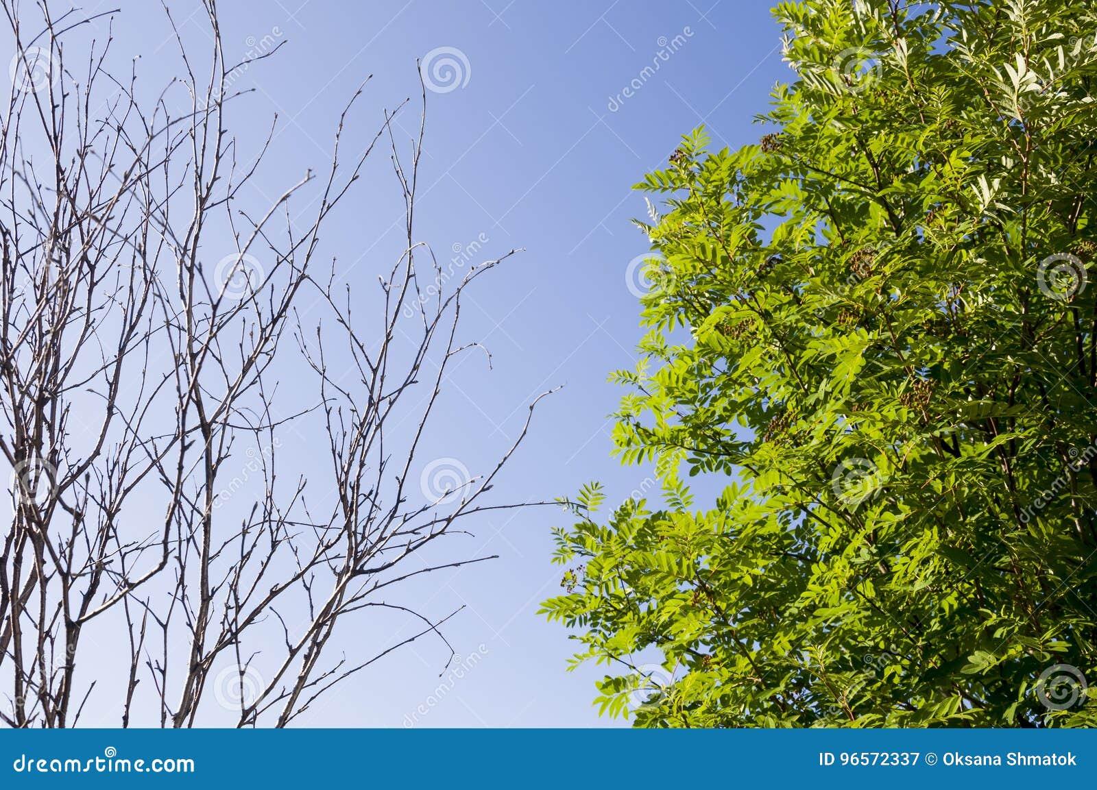 Rama del abedul con las hojas y fuera en el fondo con el cielo azul Contrarios del contraste del verano