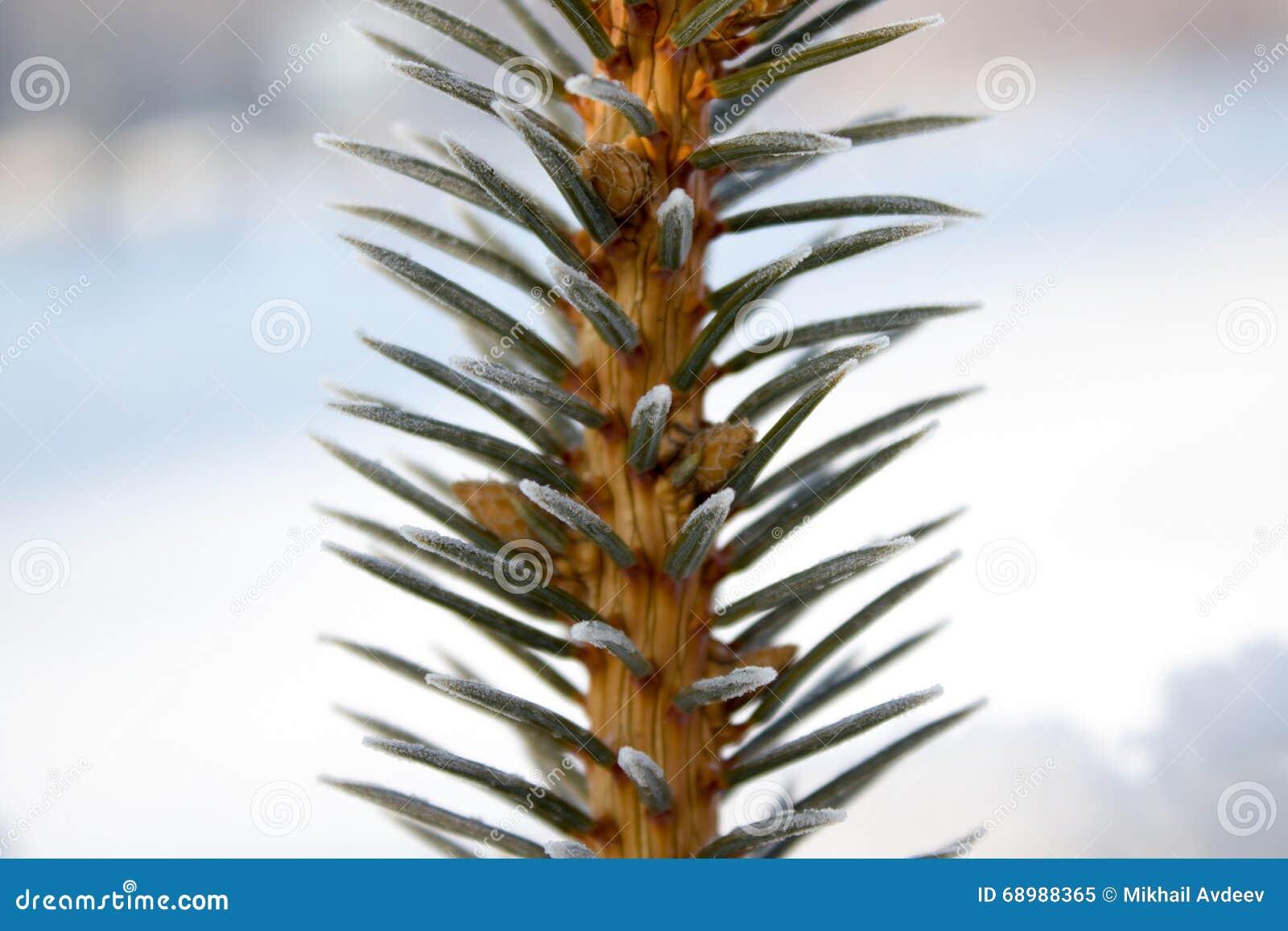 Rama del pino