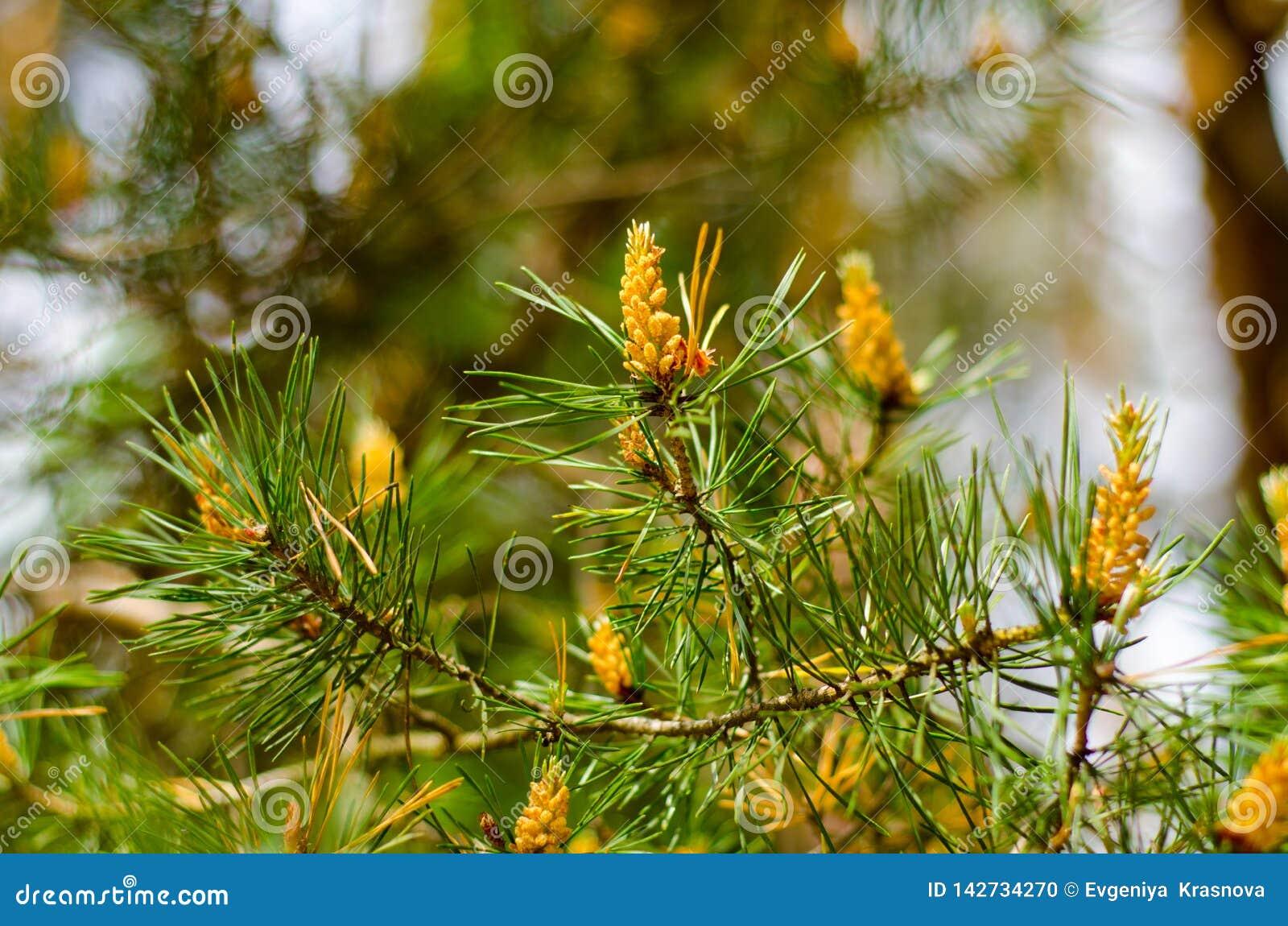Rama del pino con los conos jovenes