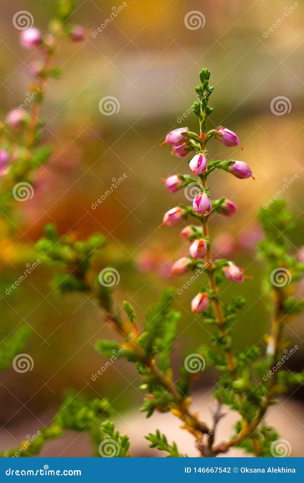 Rama del salón de florecimiento del brezo