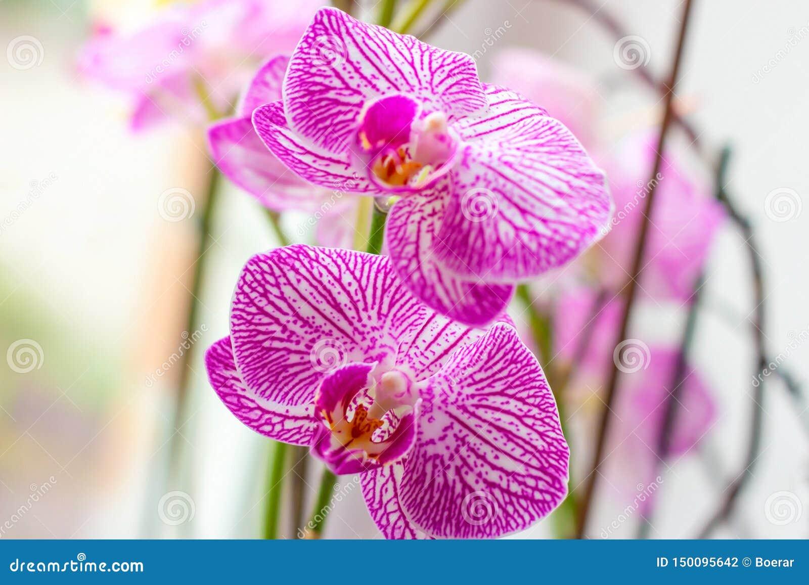 Rama ex?tica tropical hermosa con rosa y flores magentas de la orqu?dea del Phalaenopsis de la polilla en primavera