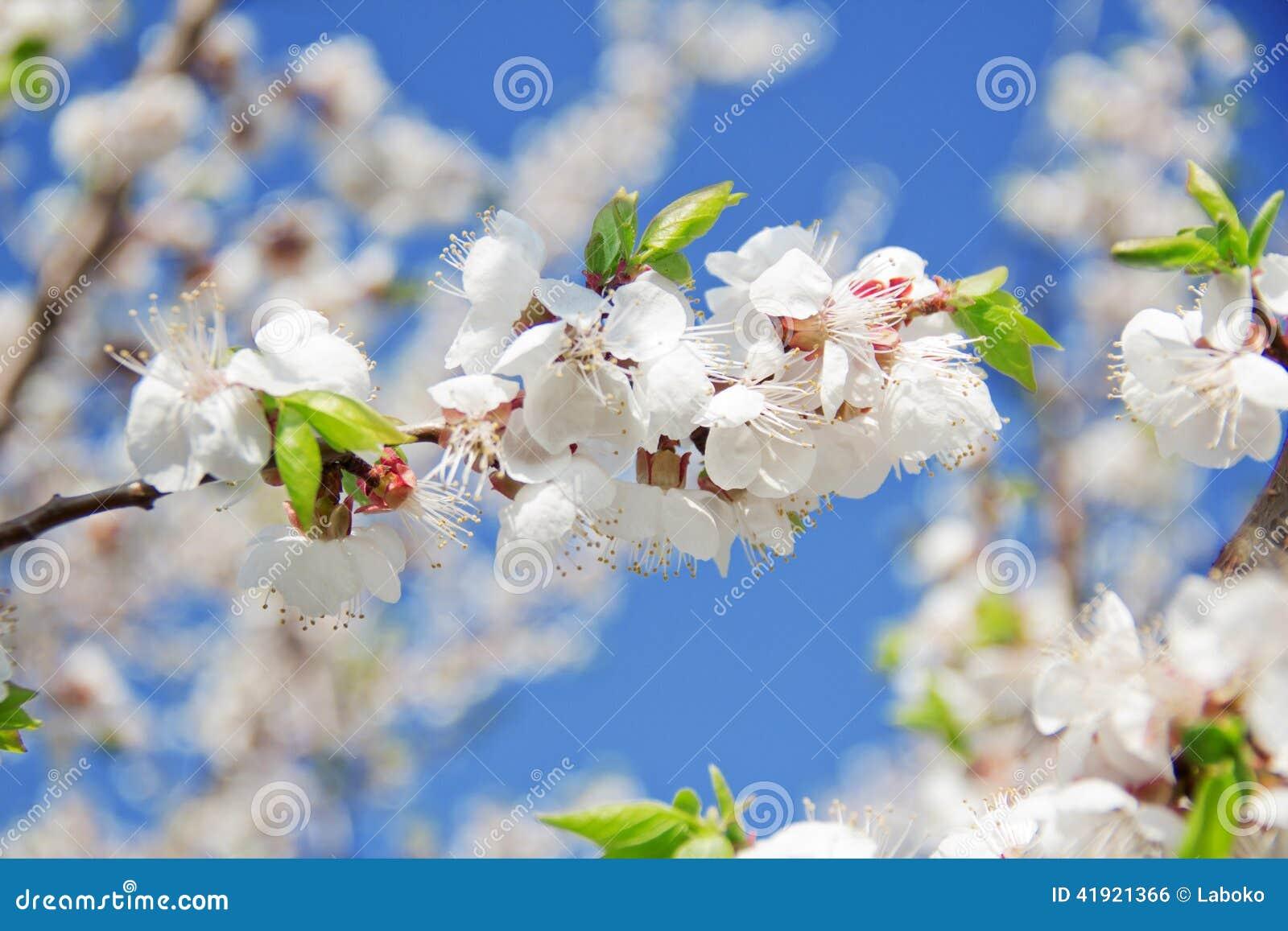 Rama floreciente de la cereza