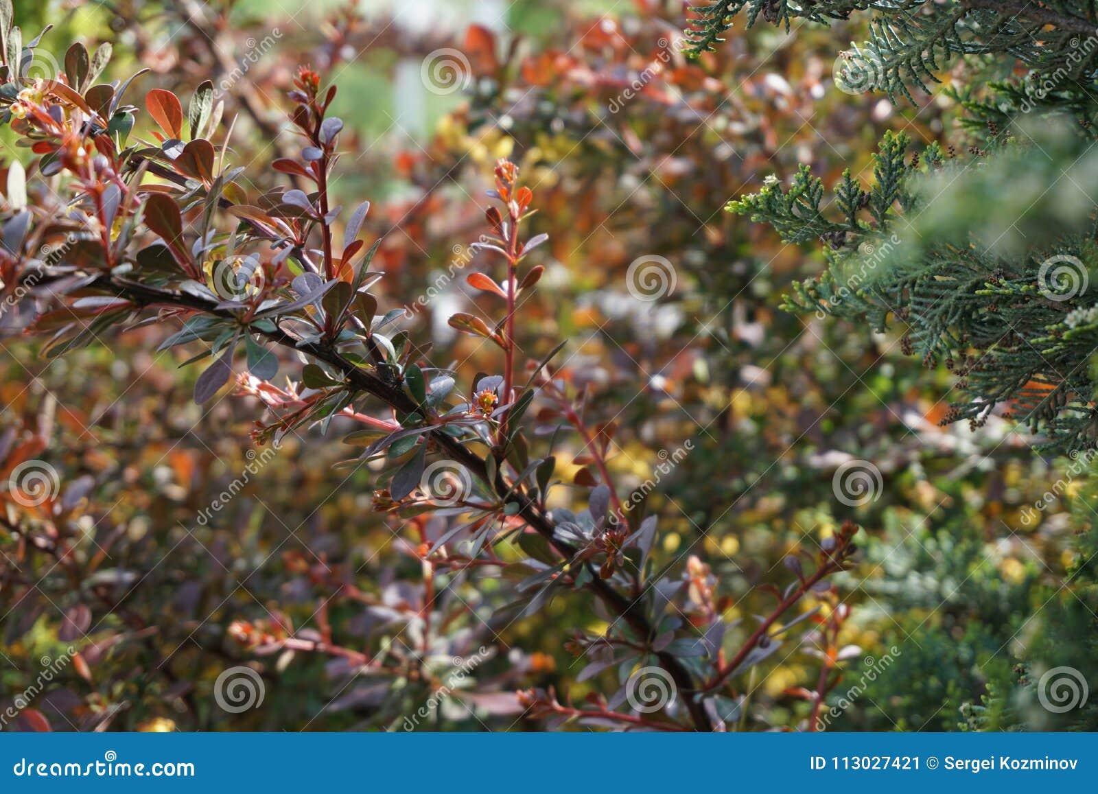 Rama floreciente del thunbergii del Berberis