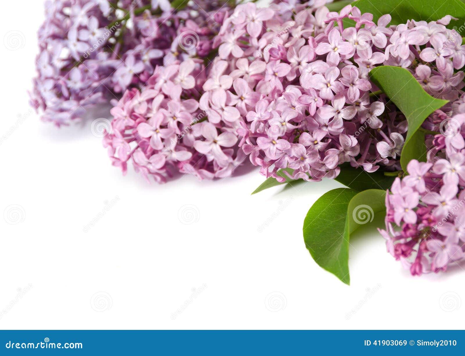 Rama rosada de la lila