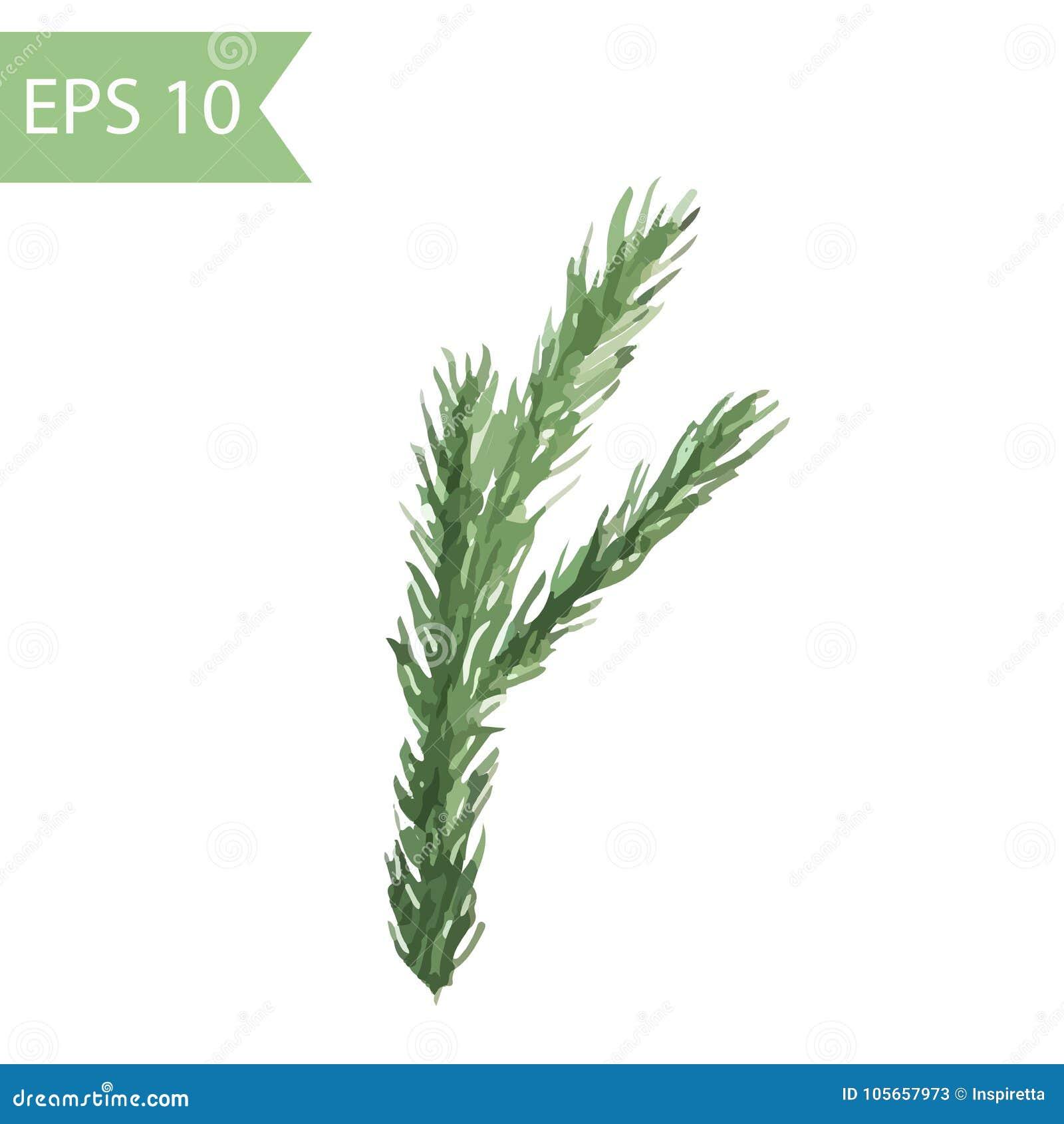 Rama spruce verde pintada en acuarela imagen aislada vector