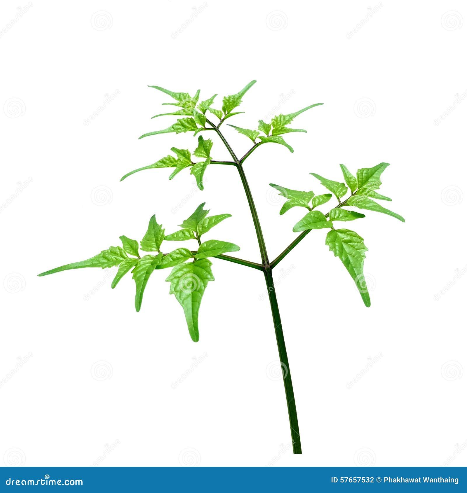 Rama suave y ramita verde