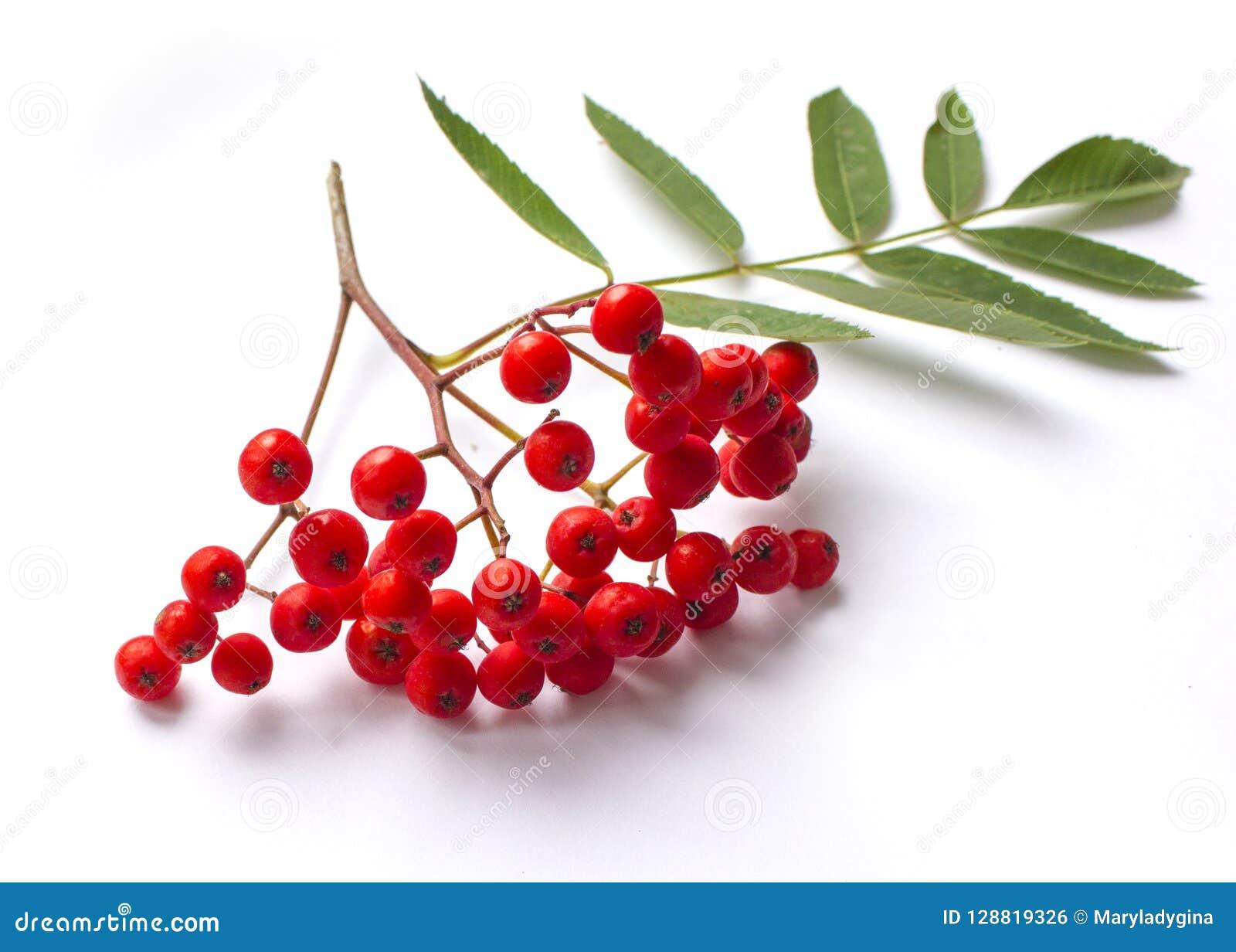 Rama y bayas del serbal de Aurumn Serbal rojo maduro aislado en el fondo blanco