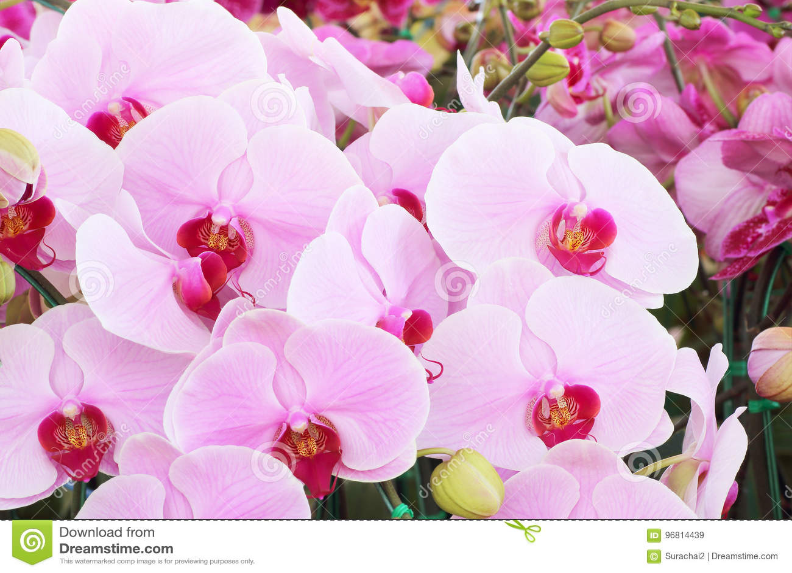 Ramalhete cor-de-rosa da orquídea de orquídeas das flores