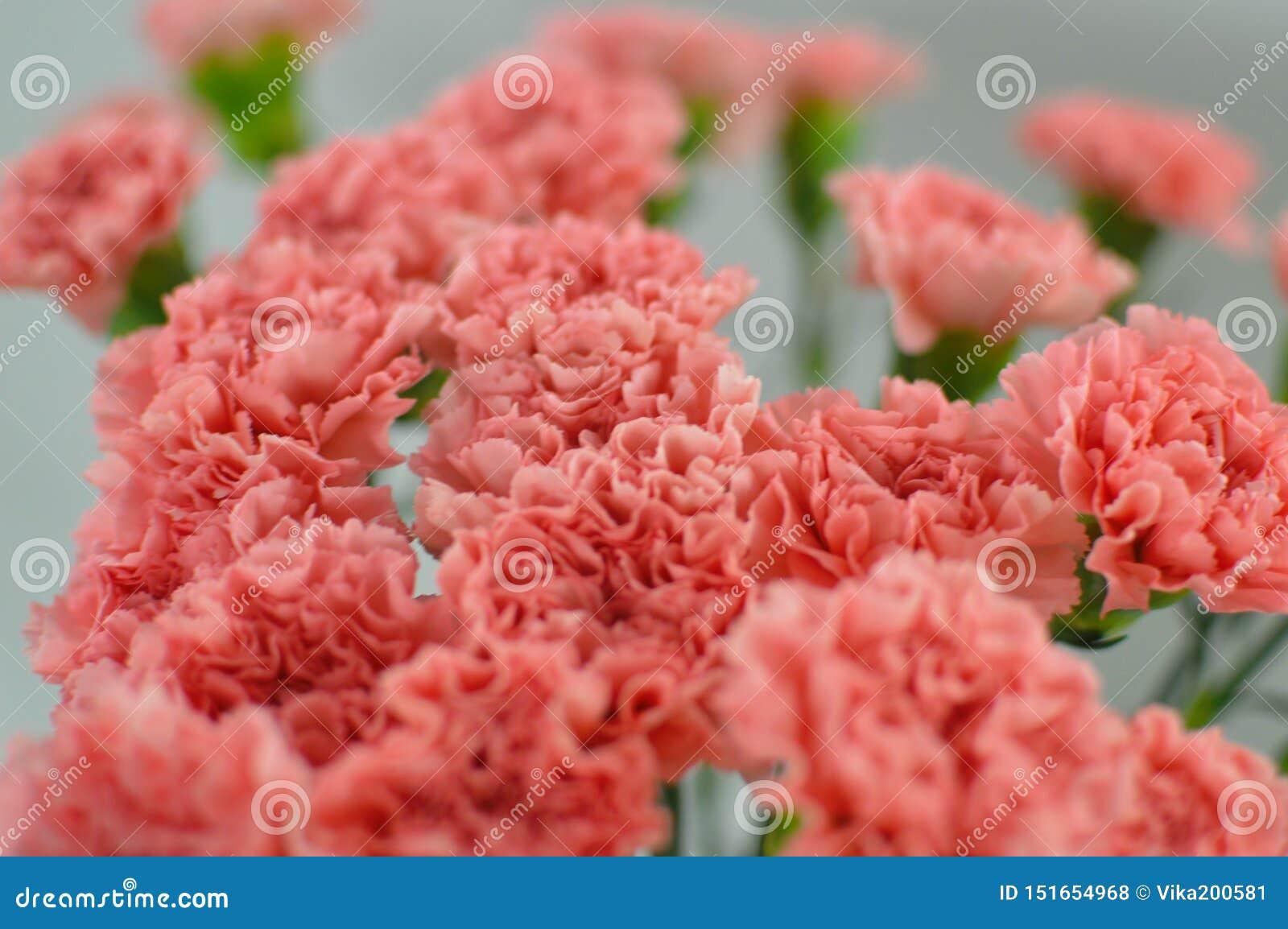 Ramalhete cor-de-rosa das flores dos cravos