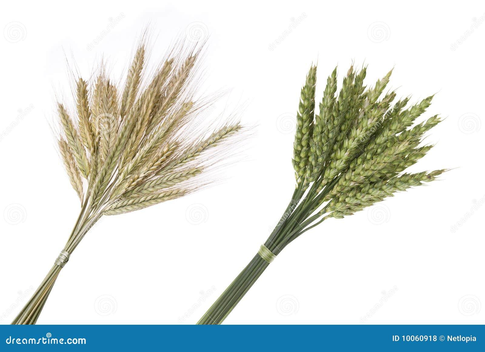 Ramalhete do centeio e do trigo