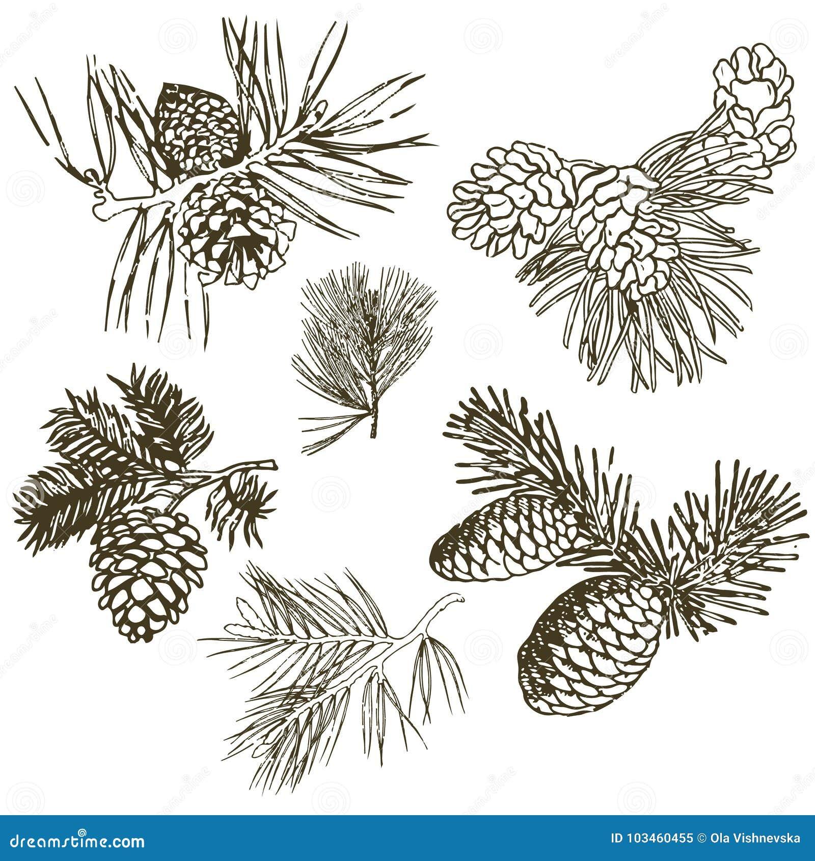 Ramas coníferas de árboles con los conos: pino, picea, abeto, cypr