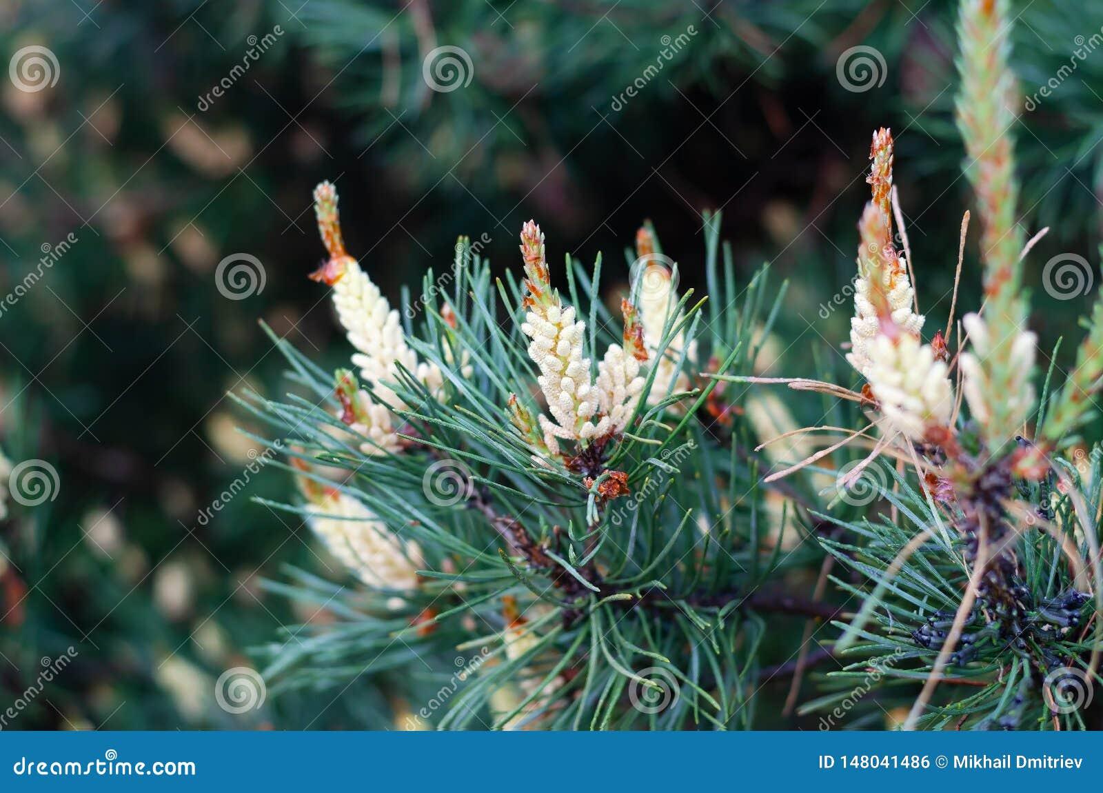 Ramas de florecimiento del pino en el bosque de la primavera