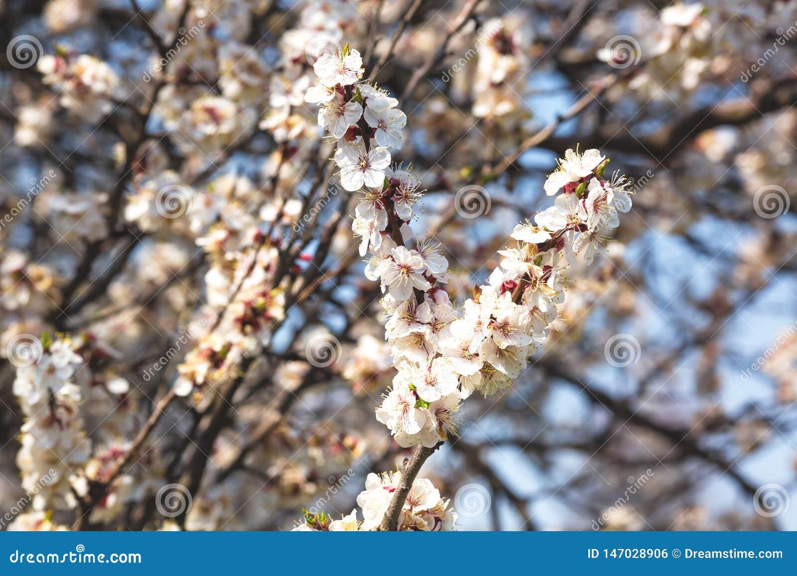 Ramas de florecimiento de los ?rboles frutales contra el cielo azul