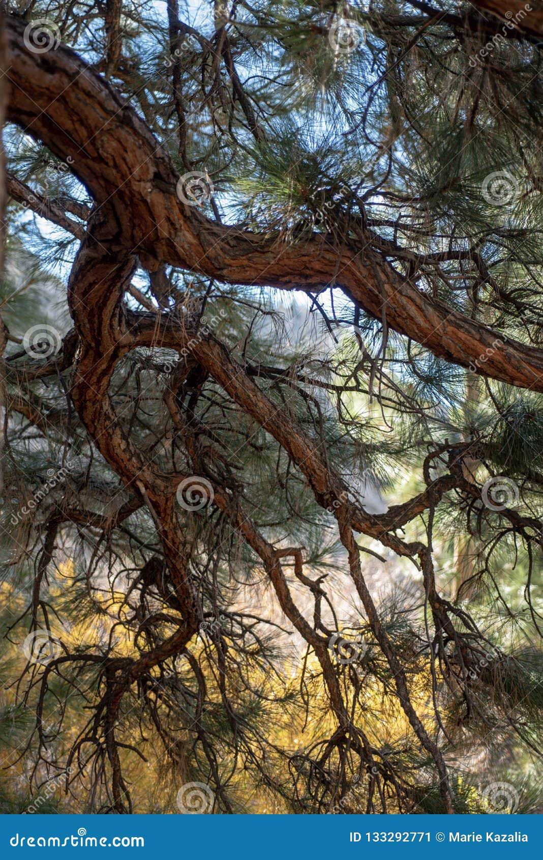 Ramas de la textura de la corteza, troncos y agujas del pino del árbol de pino grande