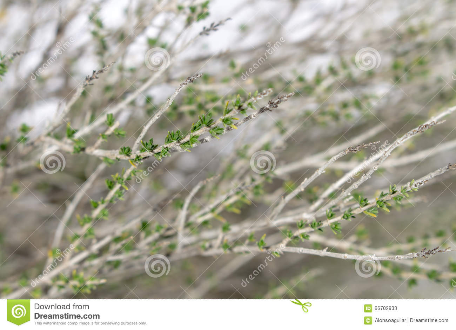 Ramas del arbusto del tomillo