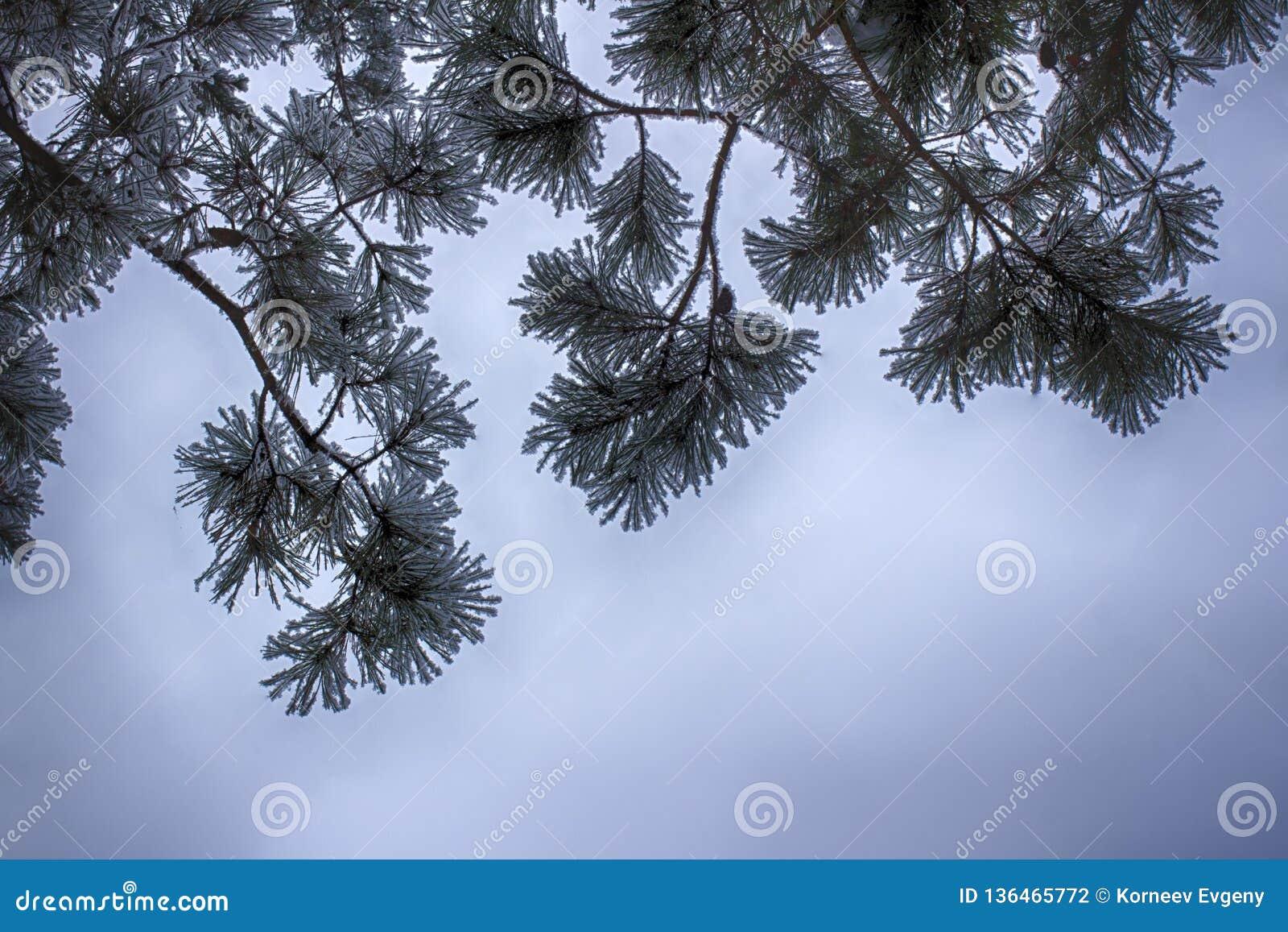 Ramas del pino en la nieve, macra Agujas nevadas de un árbol imperecedero