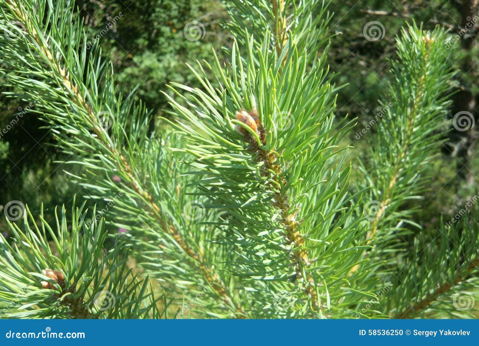 Ramas del pino en primavera