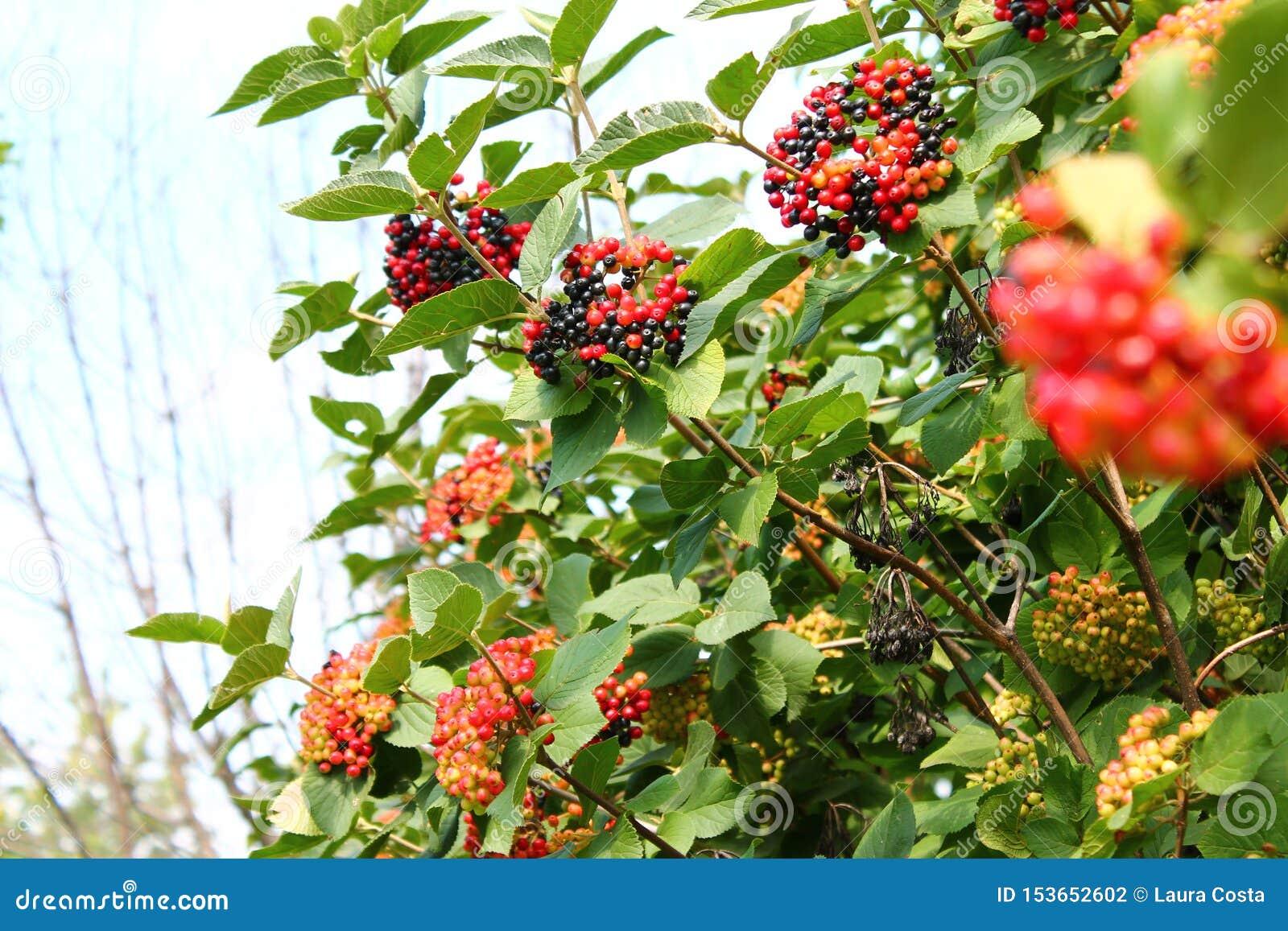Ramas del Viburnum con las bayas multicoloras