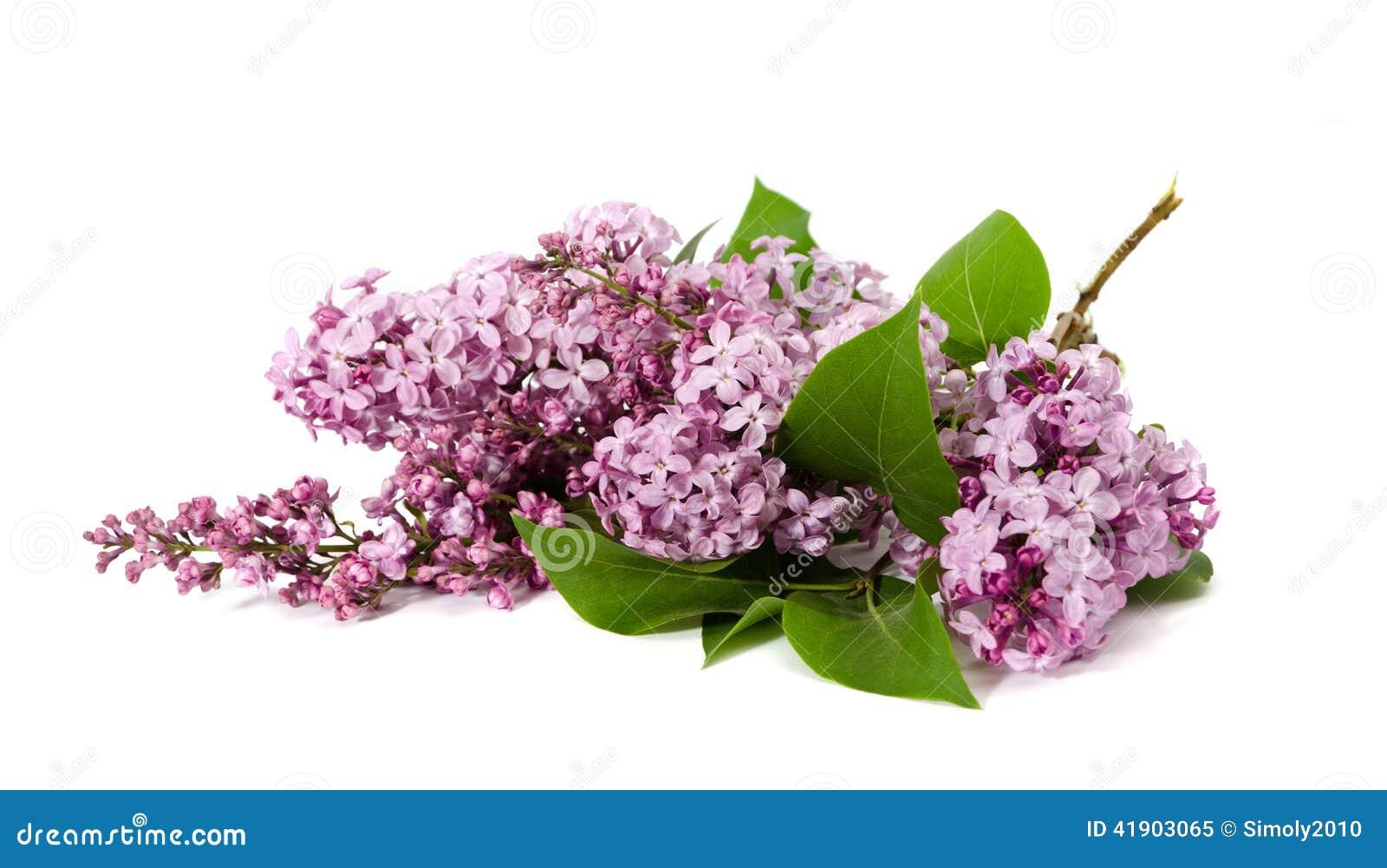 Ramas rosadas de la lila