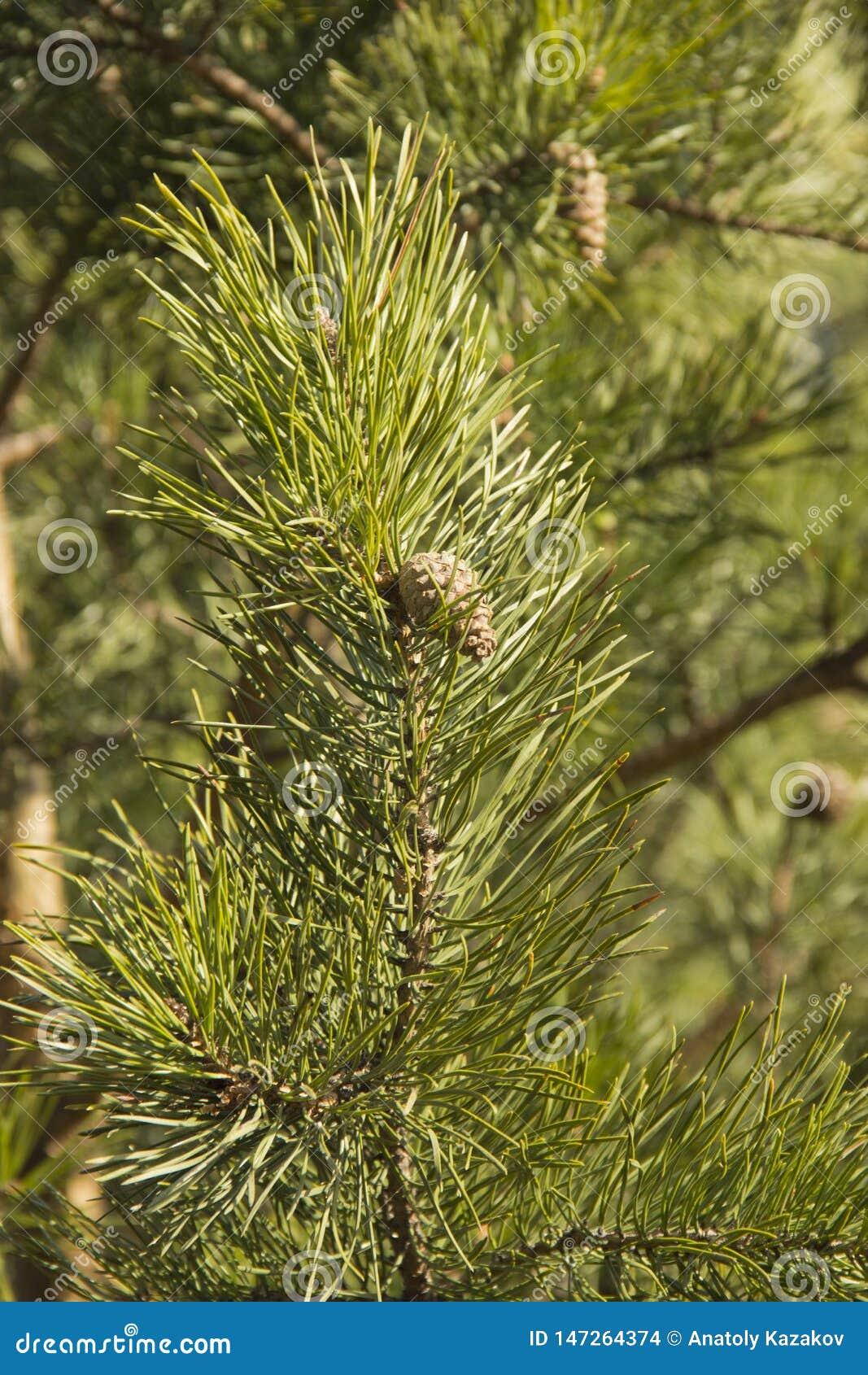 Ramas verdes del pino con los conos