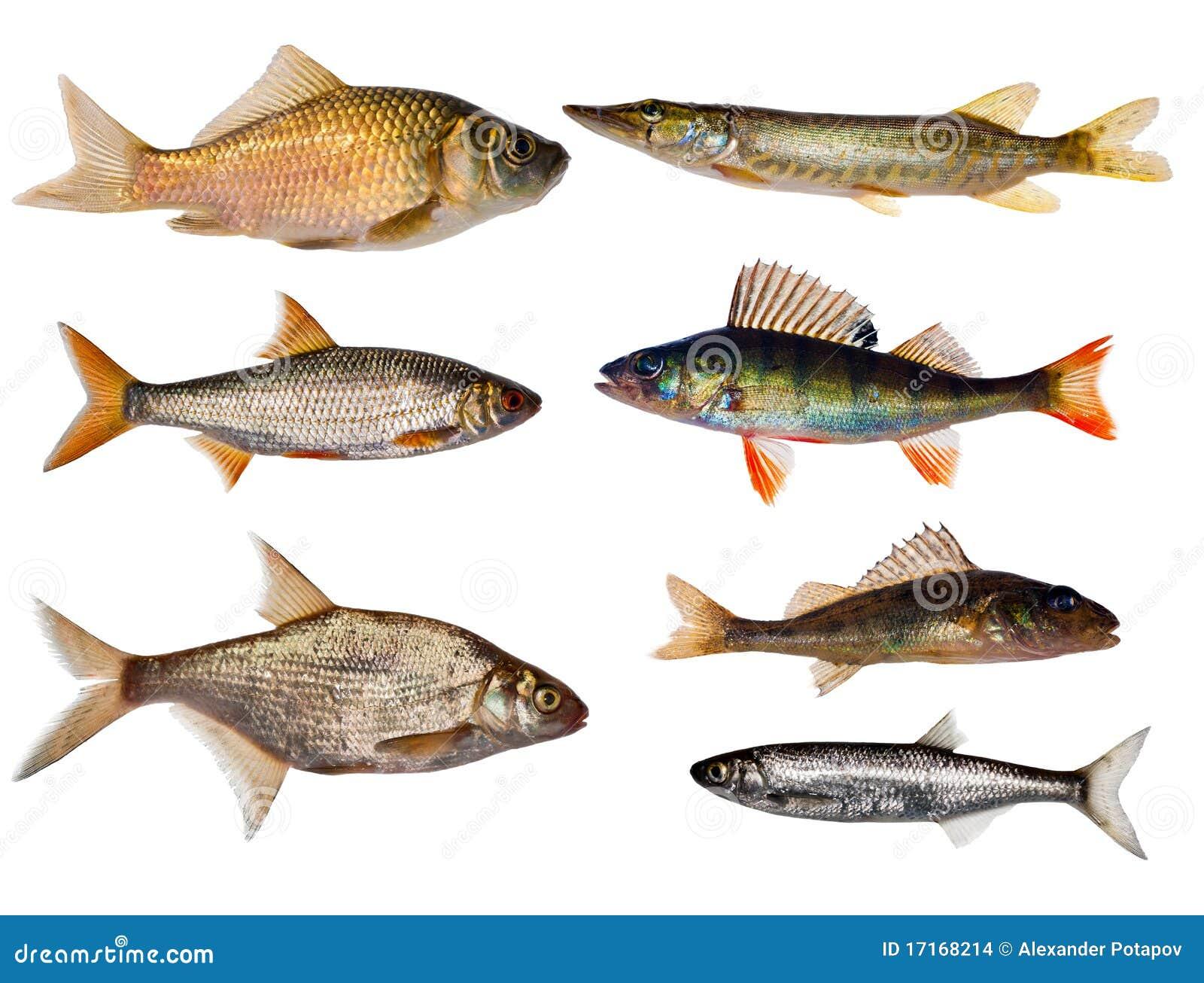 ramassage de sept poissons d 39 eau douce photo stock image 17168214. Black Bedroom Furniture Sets. Home Design Ideas