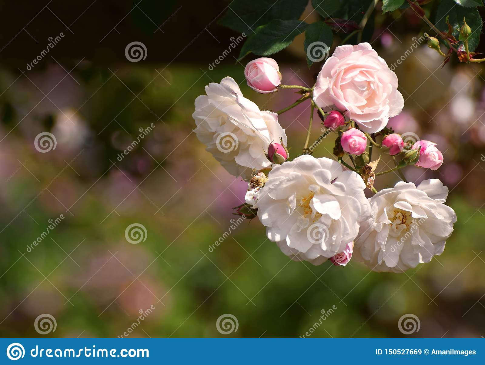 Rambling roses pale pink and white