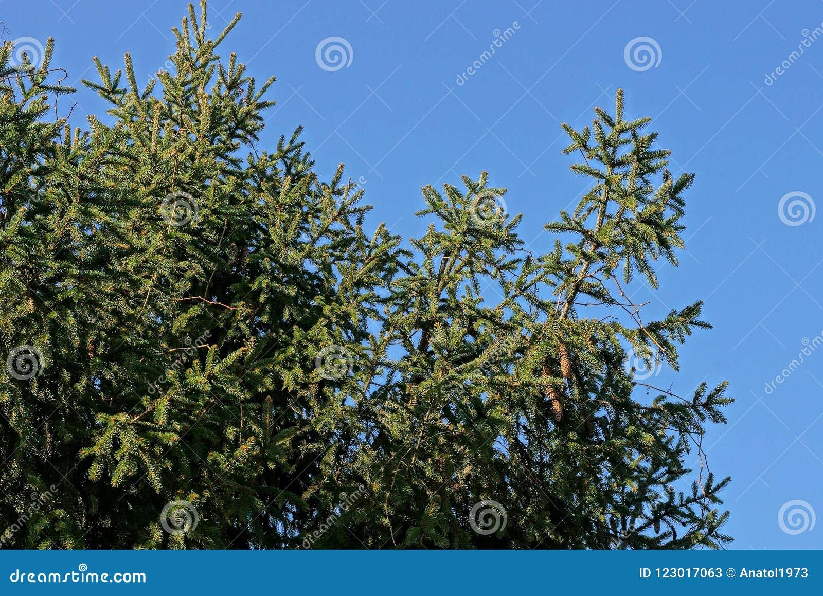 Rami attillati verdi coniferi con i coni sui precedenti del cielo