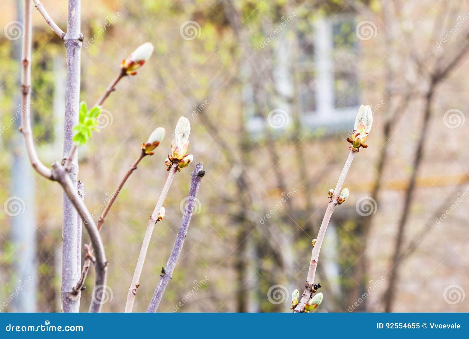 Rami dell ippocastano in primavera