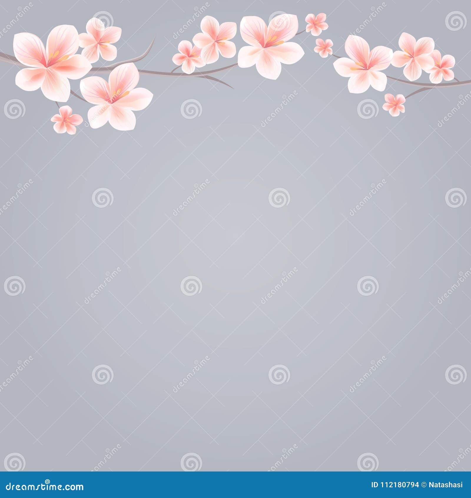 Rami di Sakura con i fiori rosa isolati su fondo grigio Fiori di Sakura Cherry Blossom Cmyk di vettore ENV 10